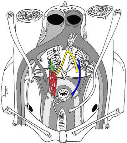 Anatomical Graph of the Pelvic Floor and the Autonomic Nerves