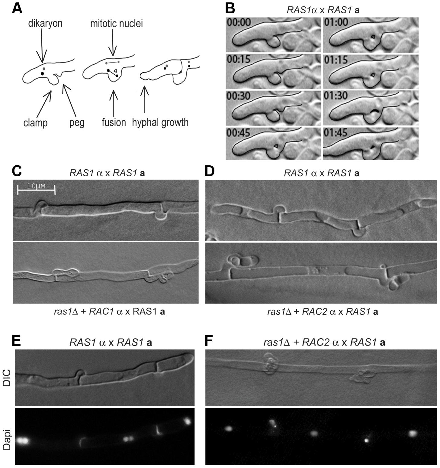 Clamp cell morphogenesis during <i>C. neoformans</i> hyphal development.
