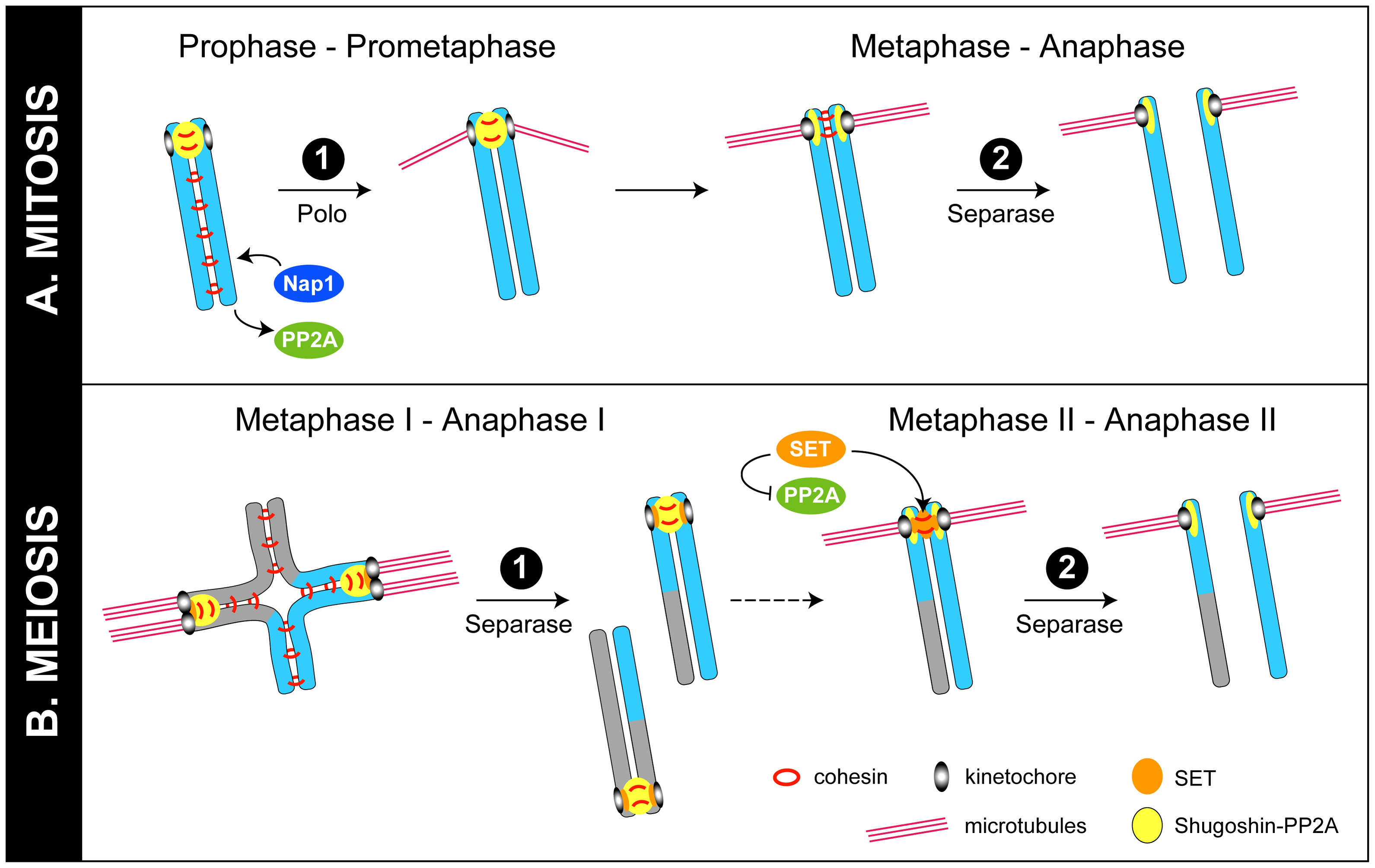 Models for regulation of chromosome cohesion in mitosis and meiosis.