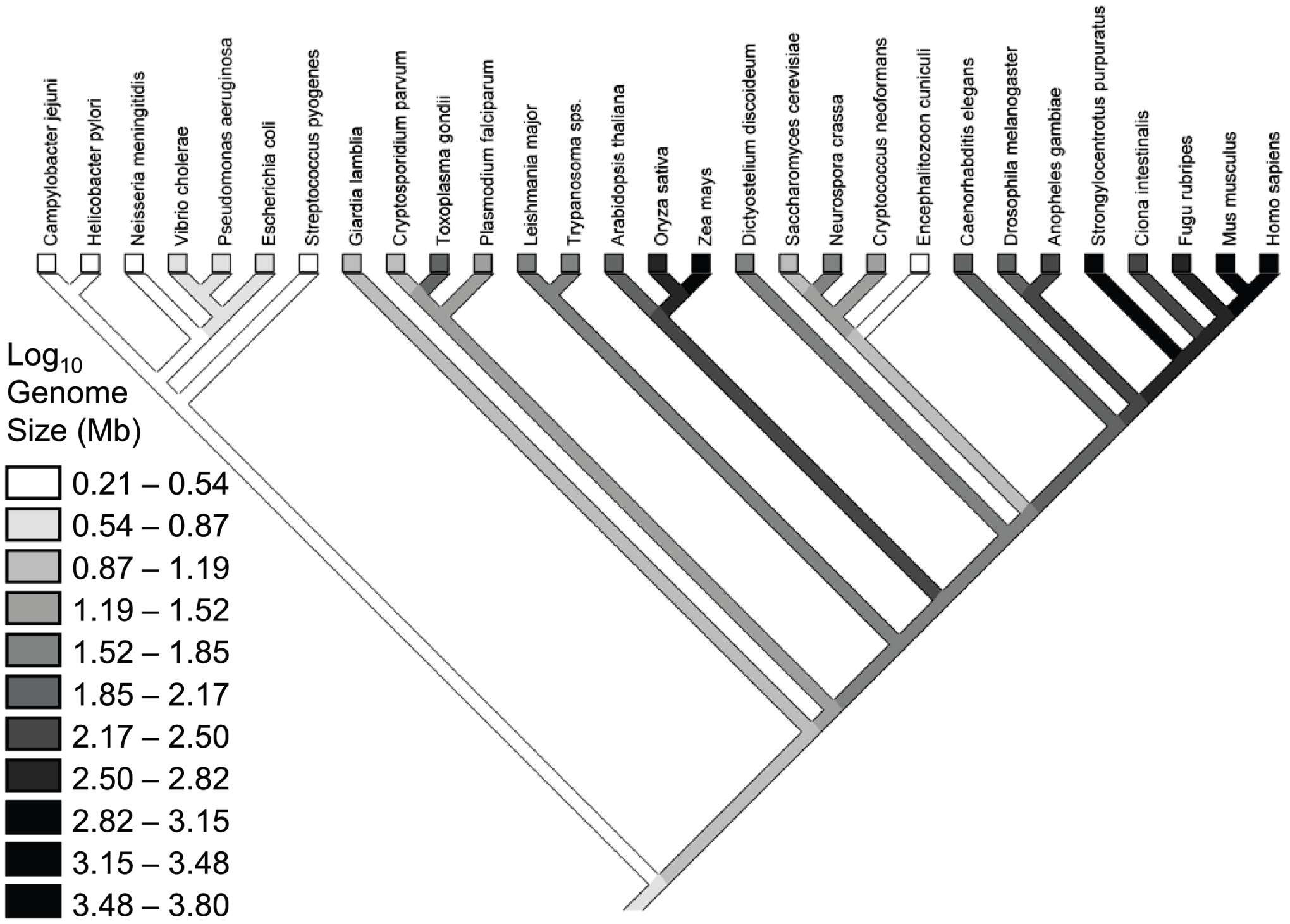 """Phylogeny for the species in the Lynch & Conery dataset <em class=""""ref"""">[<b>7</b>]</em>, with a reconstruction of genome sizes."""