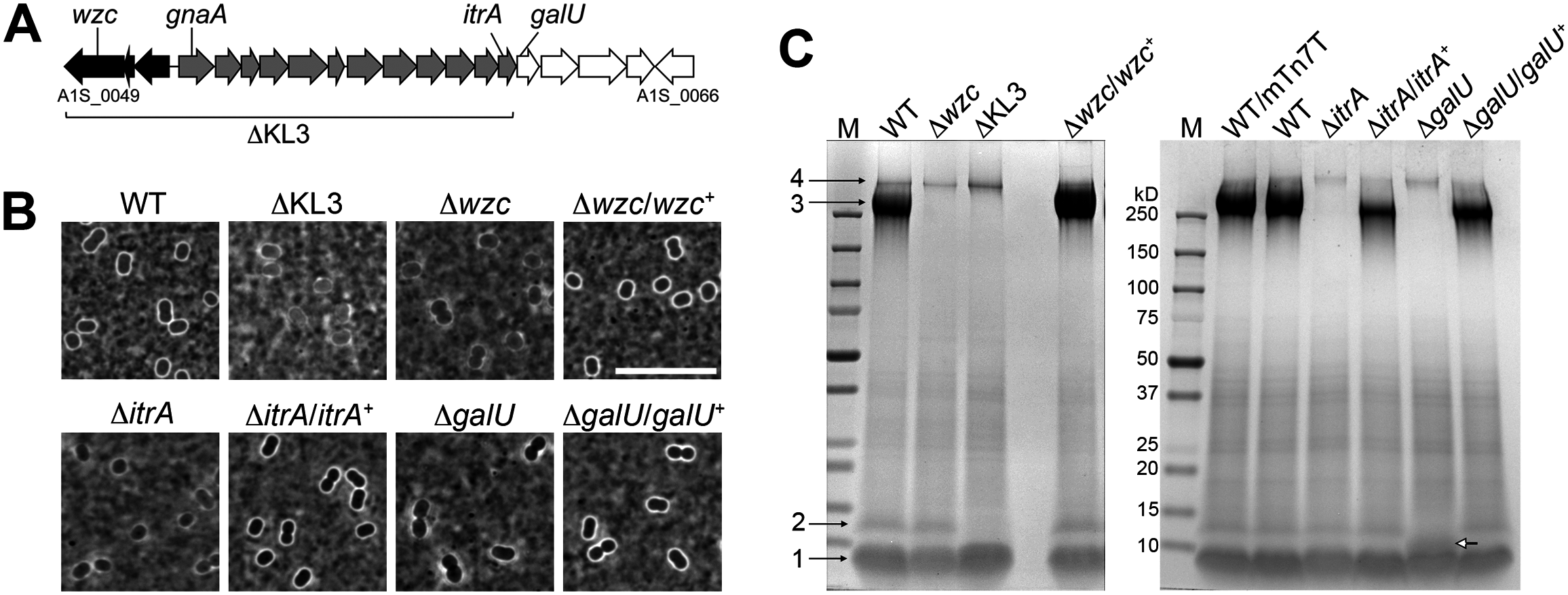 <i>A</i>. <i>baumannii</i> K locus genes determine major surface polysaccharides, including capsular exopolysaccharide and an LPS glycoform.