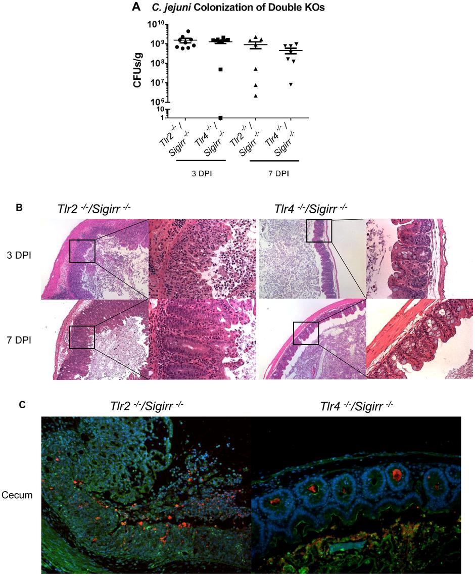 Pathology of <i>Tlr2<sup>−/−</sup>/Sigirr<sup>−/−</sup></i> and <i>Tlr4<sup>−/−</sup>/Sigirr<sup>−/−</sup></i> mice infected with <i>C. jejuni</i>.