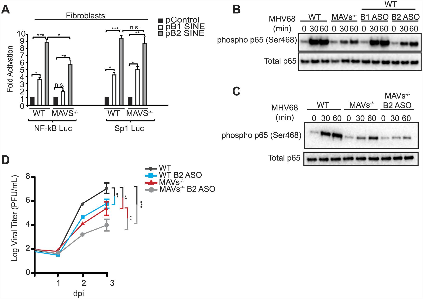 SINE RNAs signal through MAVS to activate NF-κB.