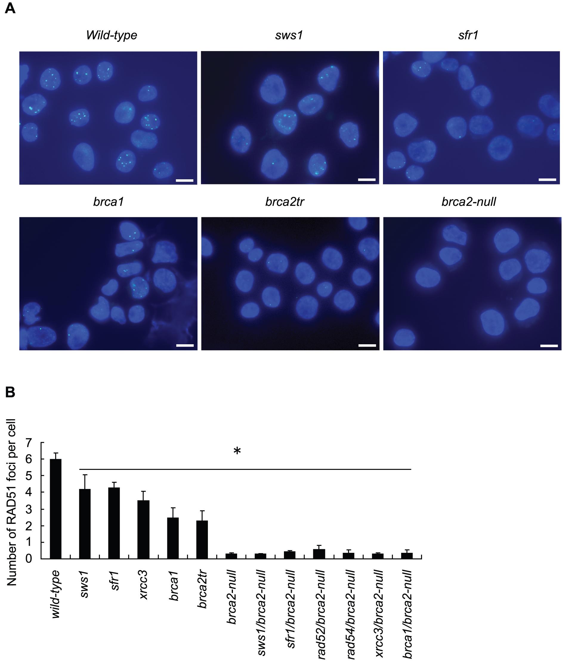 γ-ray–induced Rad51 subnuclear foci in RAD51-mediator mutant cells.