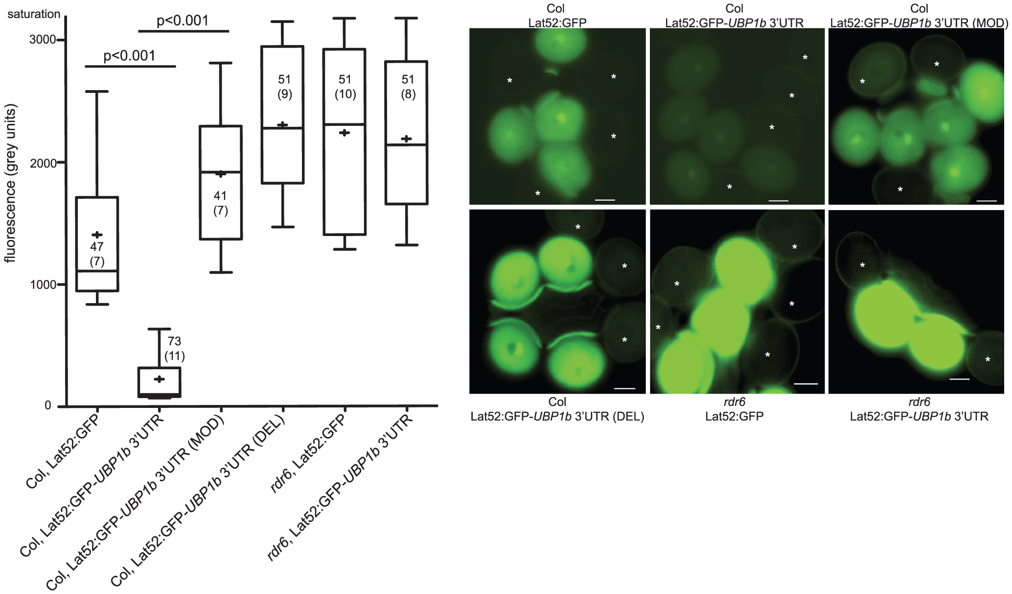 Accumulation of 21–22 nt siRNA854 in wt pollen regulates transgene transcripts with the <i>UBP1b</i> 3′UTR.