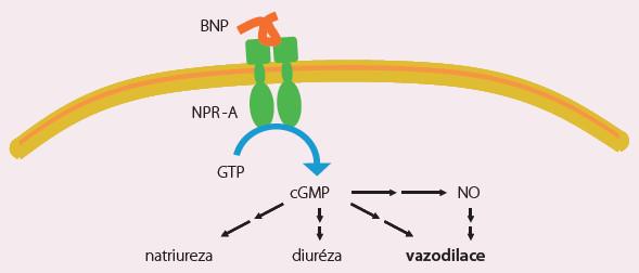 Nesiritid – mechanizmus účinku.