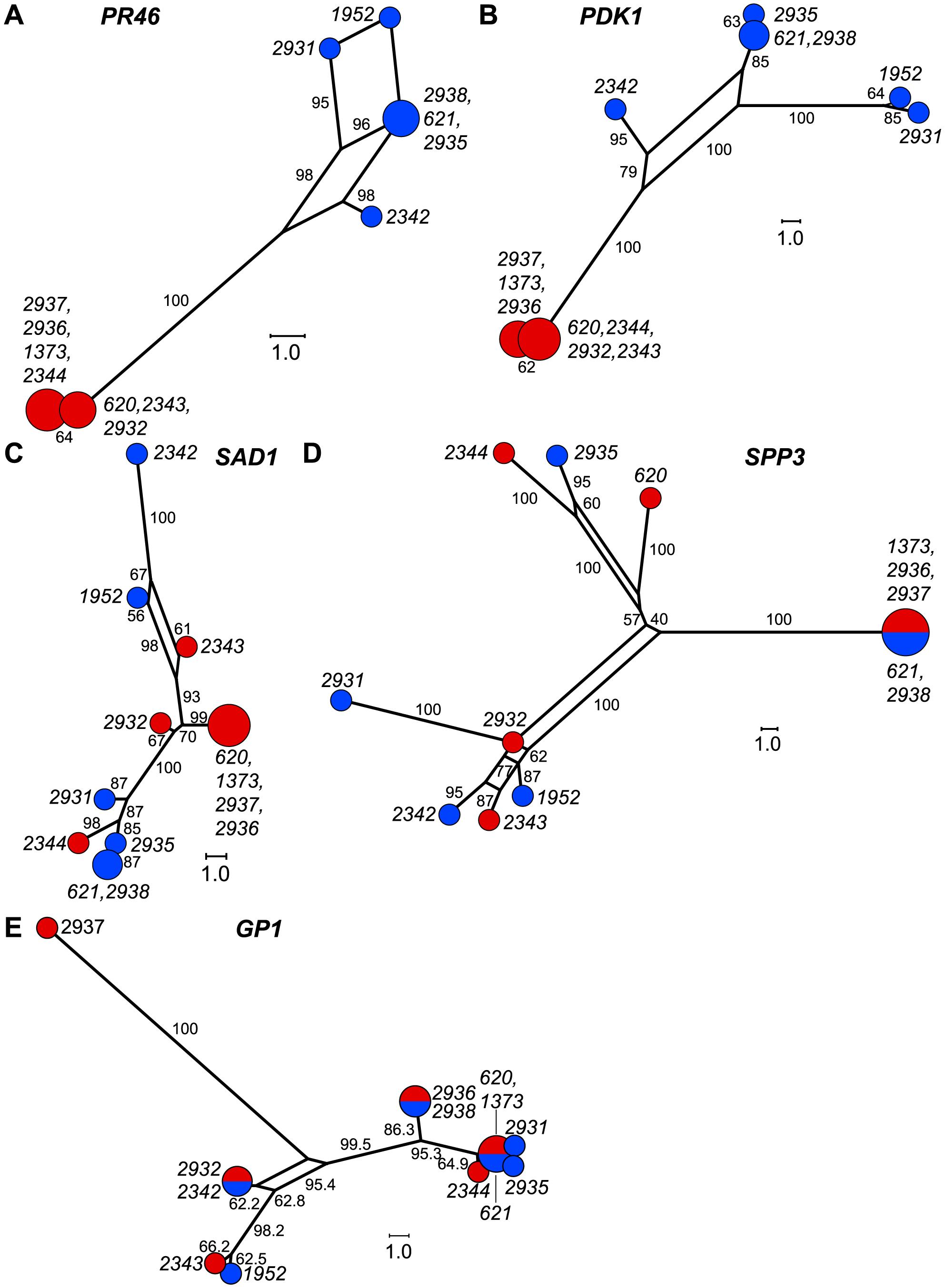 Haplotype networks of <i>MT</i> and autosomal genes.