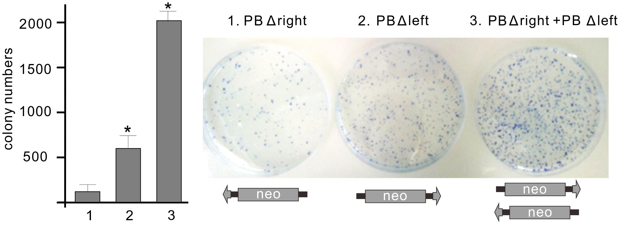 Bimolecular transposition events generated by <i>PB</i>.