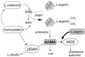 Biosyntéza a metabolizmus ADMA.