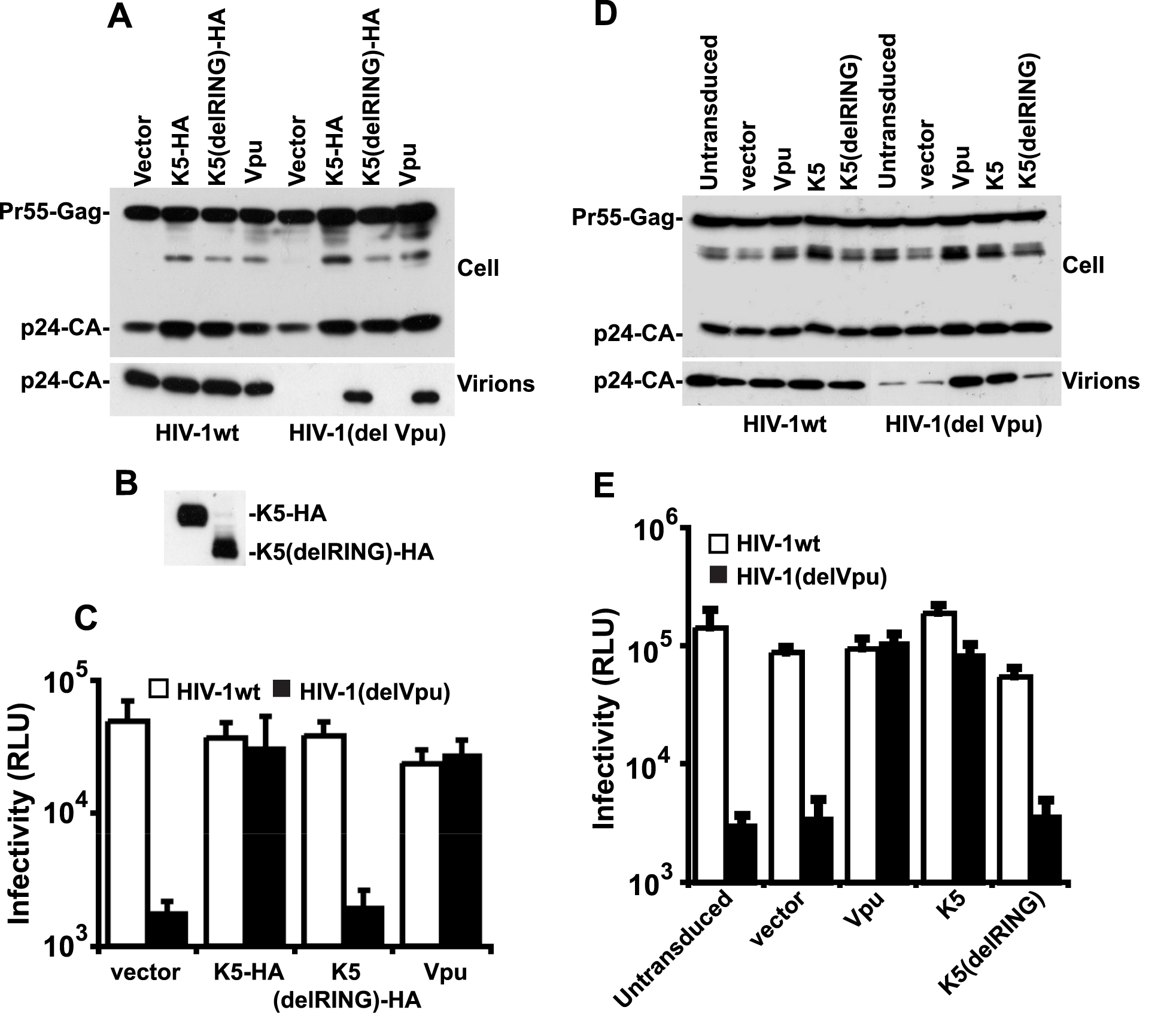 K5 rescues Vpu-defective HIV-1 particle release from tetherin mediated restriction.
