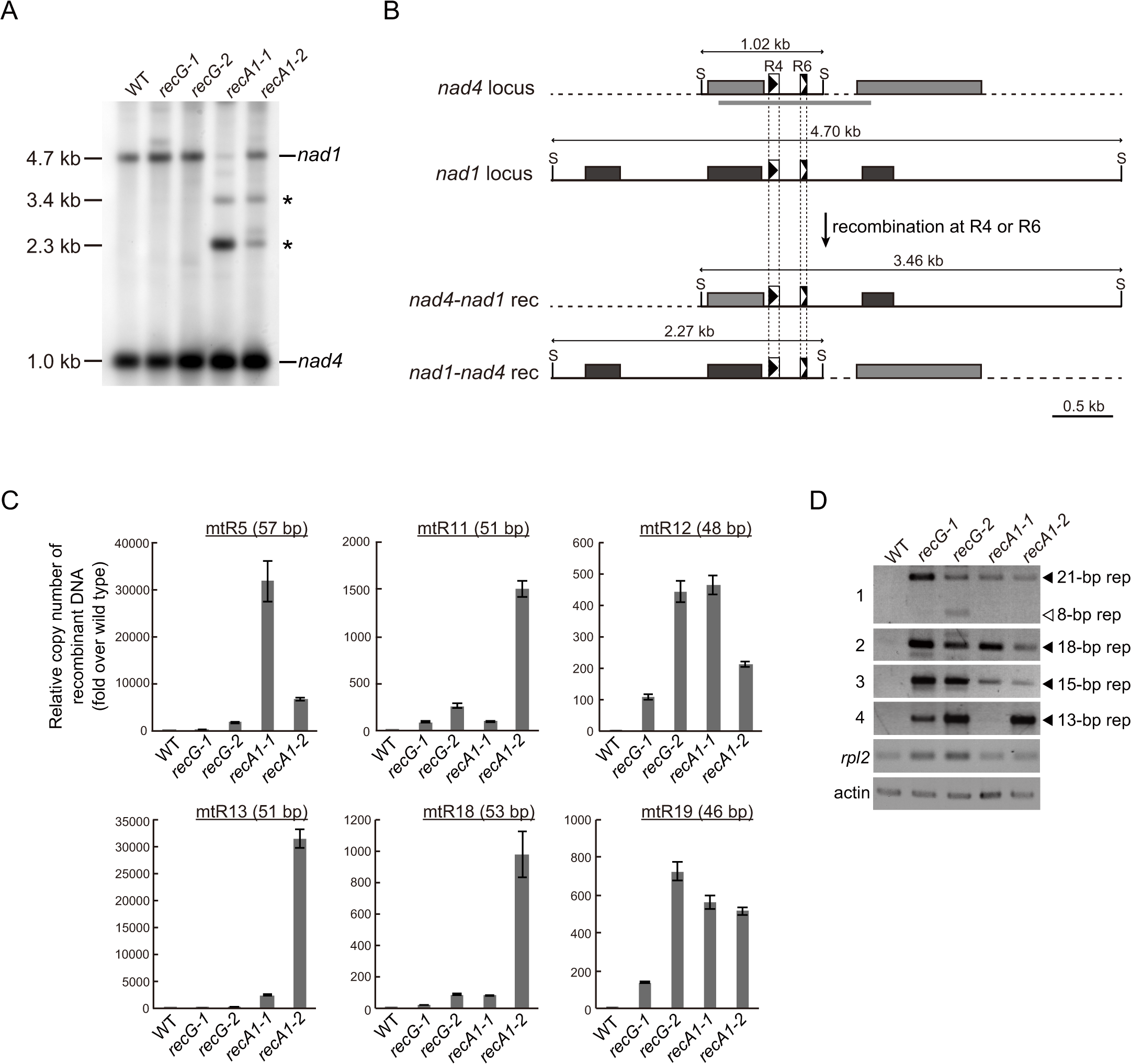 Genomic instability in <i>RECG</i> and <i>RECA1</i> KO mitochondria.