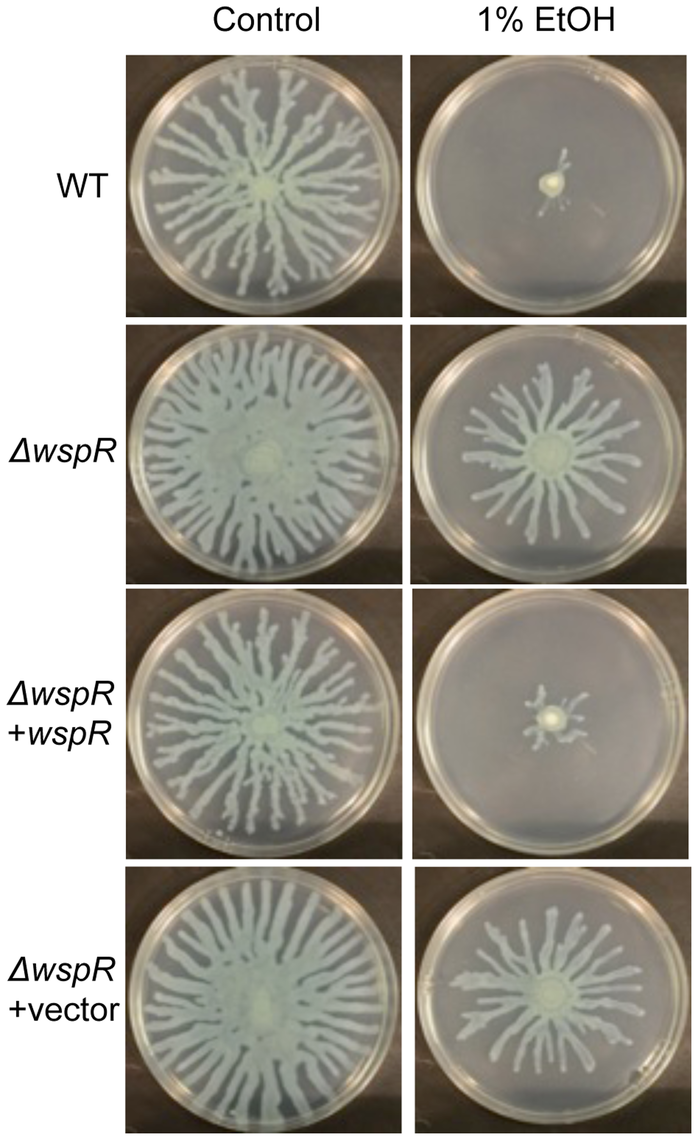 <i>P. aeruginosa</i> Δ<i>wspR</i> shows loss of swarm repression in the presence of ethanol.