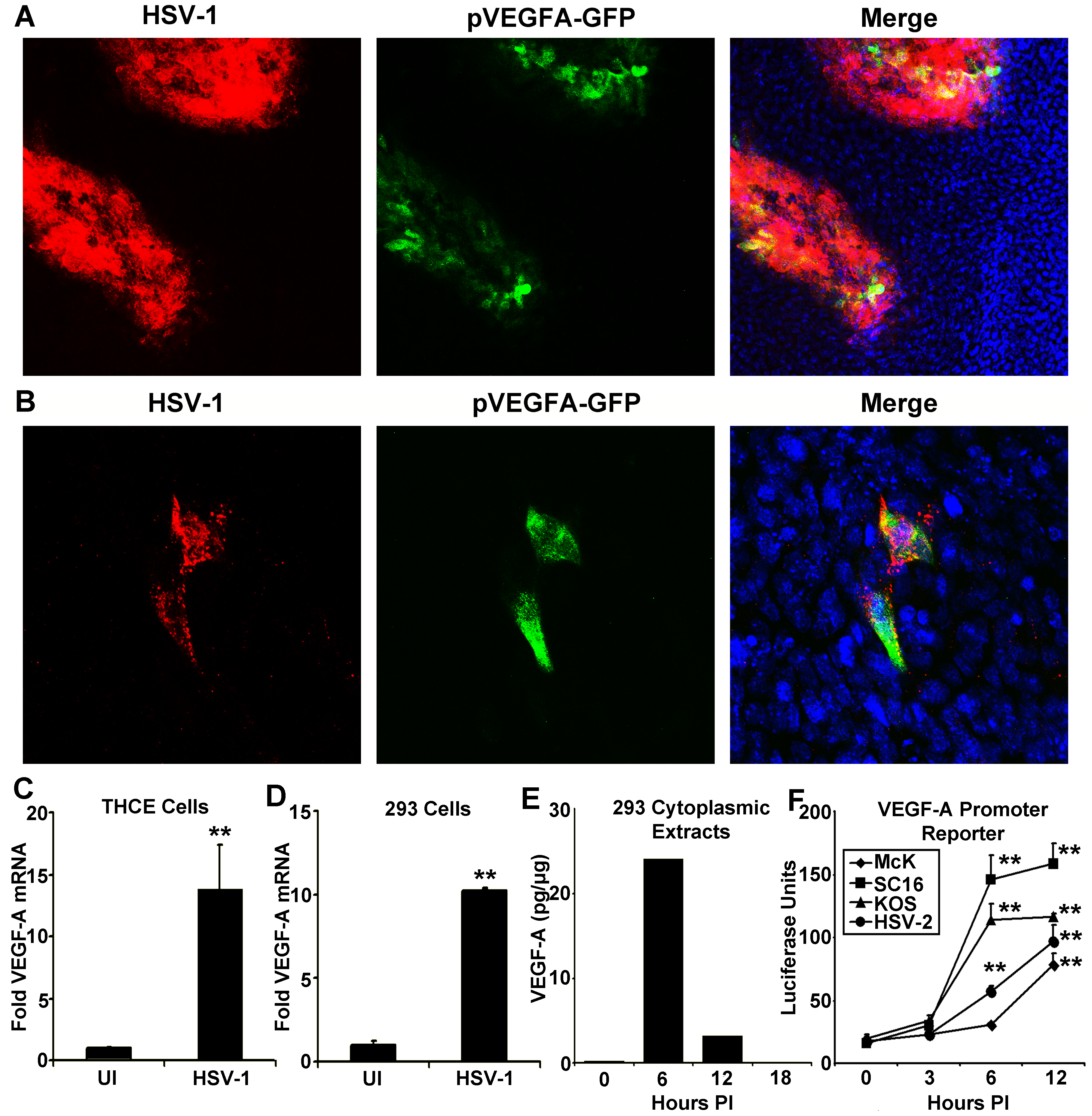 HSV-1 infection drives transcriptional upregulation of VEGF-A.