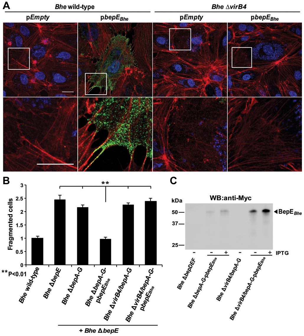 BepE protects host cells from fragmentation upon translocation via T4SS.