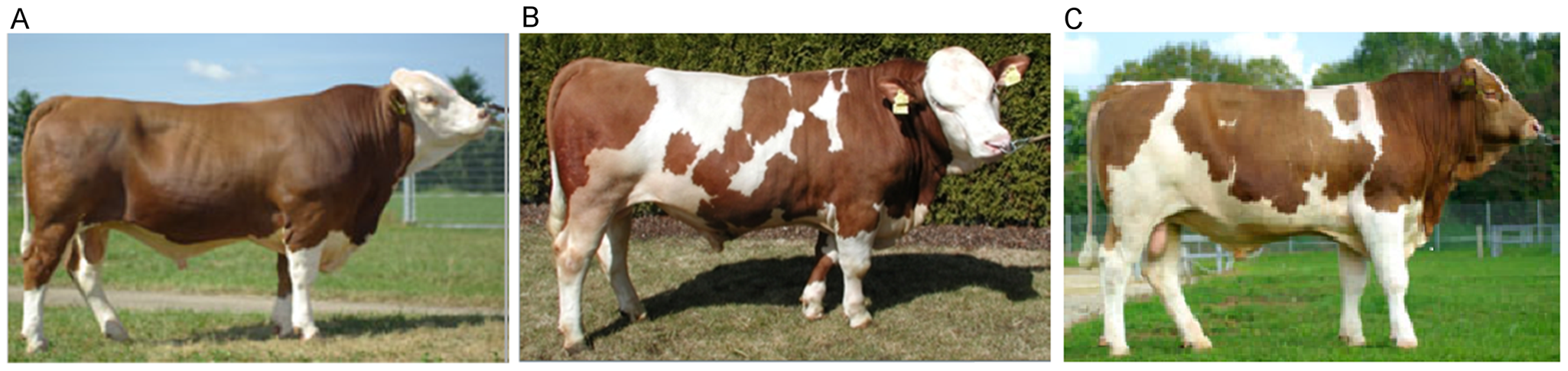 Fleckvieh animals with different coat coloring phenotypes.