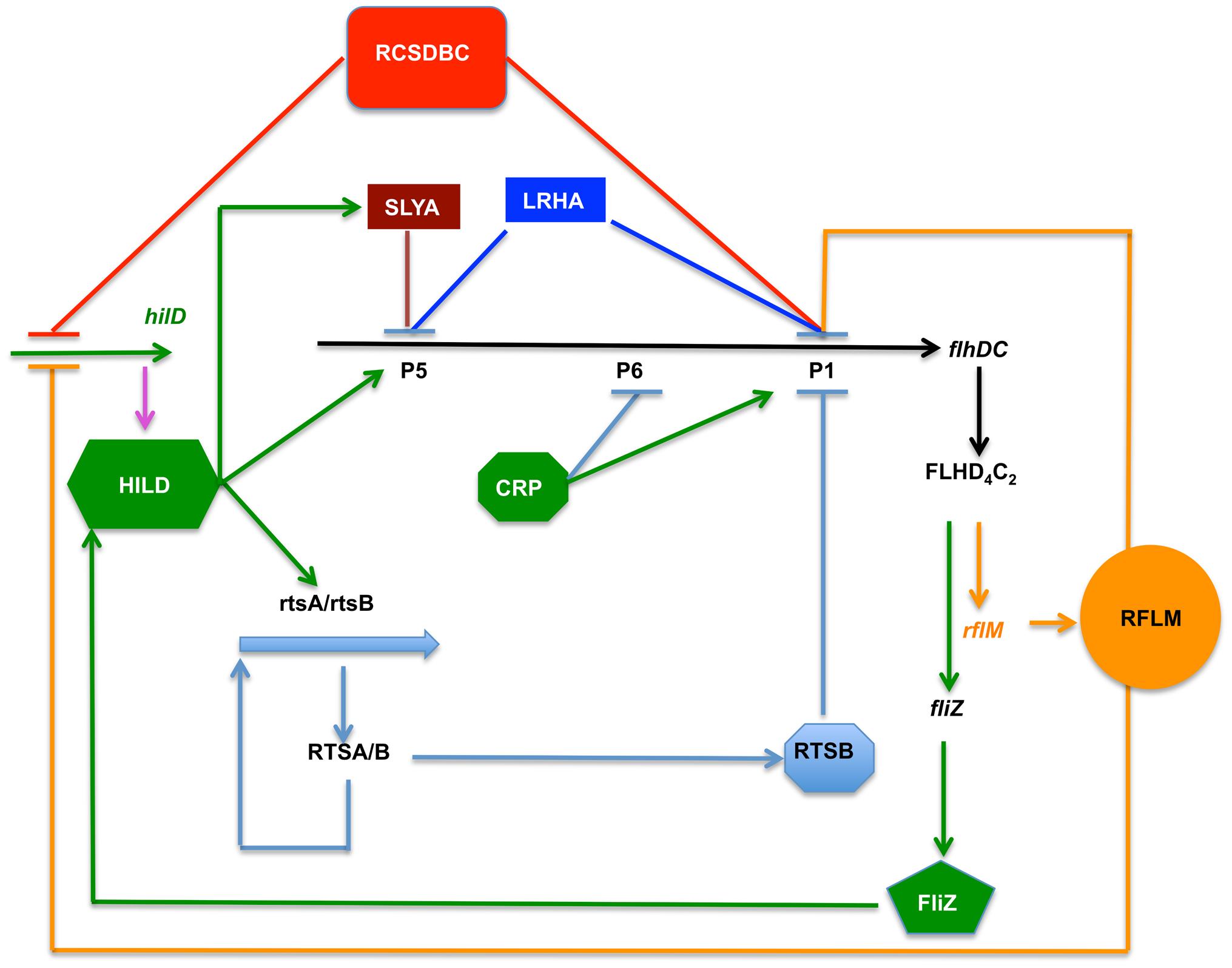 Model depicting the flagellar and Spi1 regulatory circuitry.