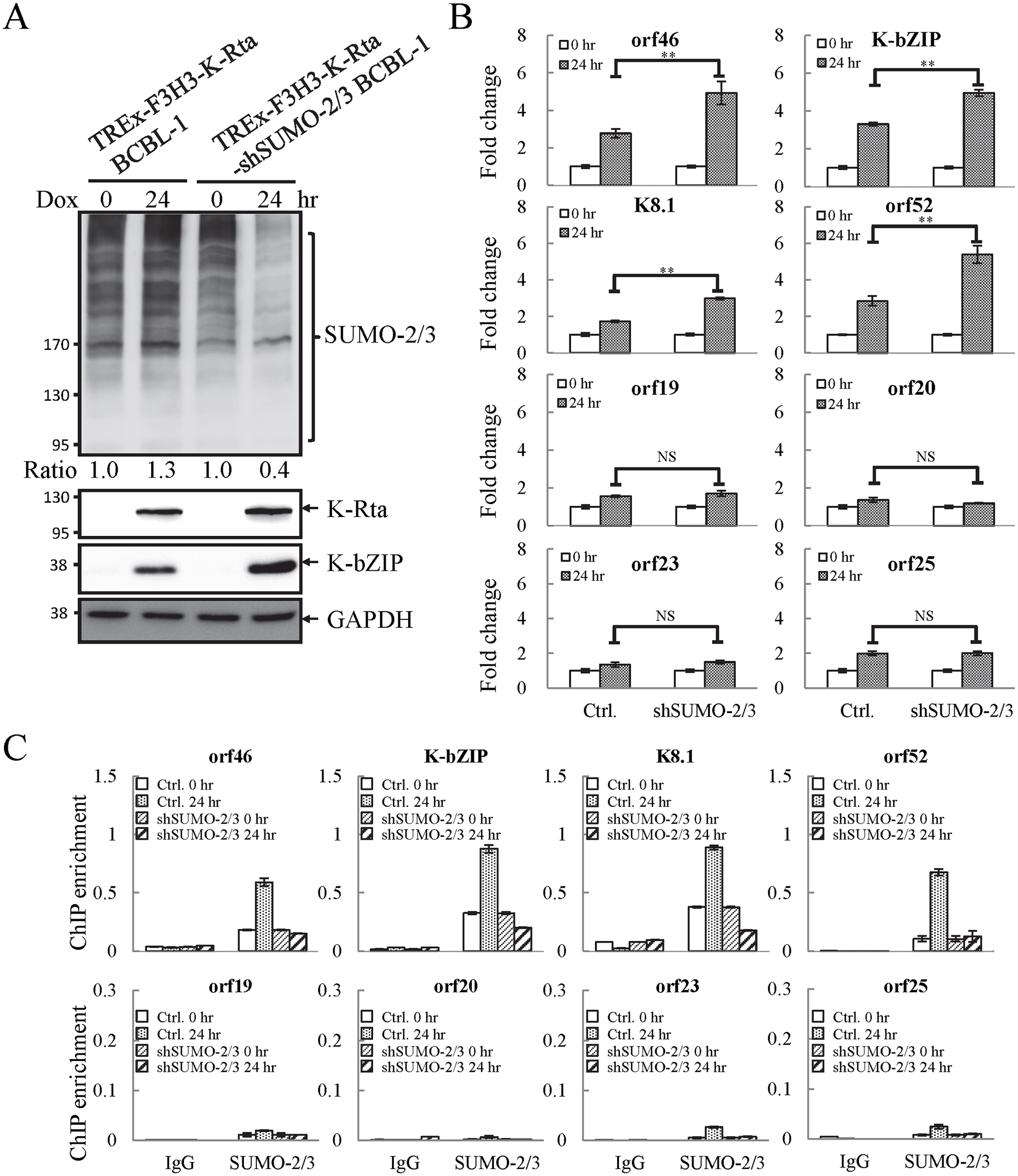 Knockdown of SUMO-2/3 increases transactivation of KSHV lytic genes and reduces SUMO-2/3-specific modification located in the high SUMO-2/3 enrichment region during viral reactivation.