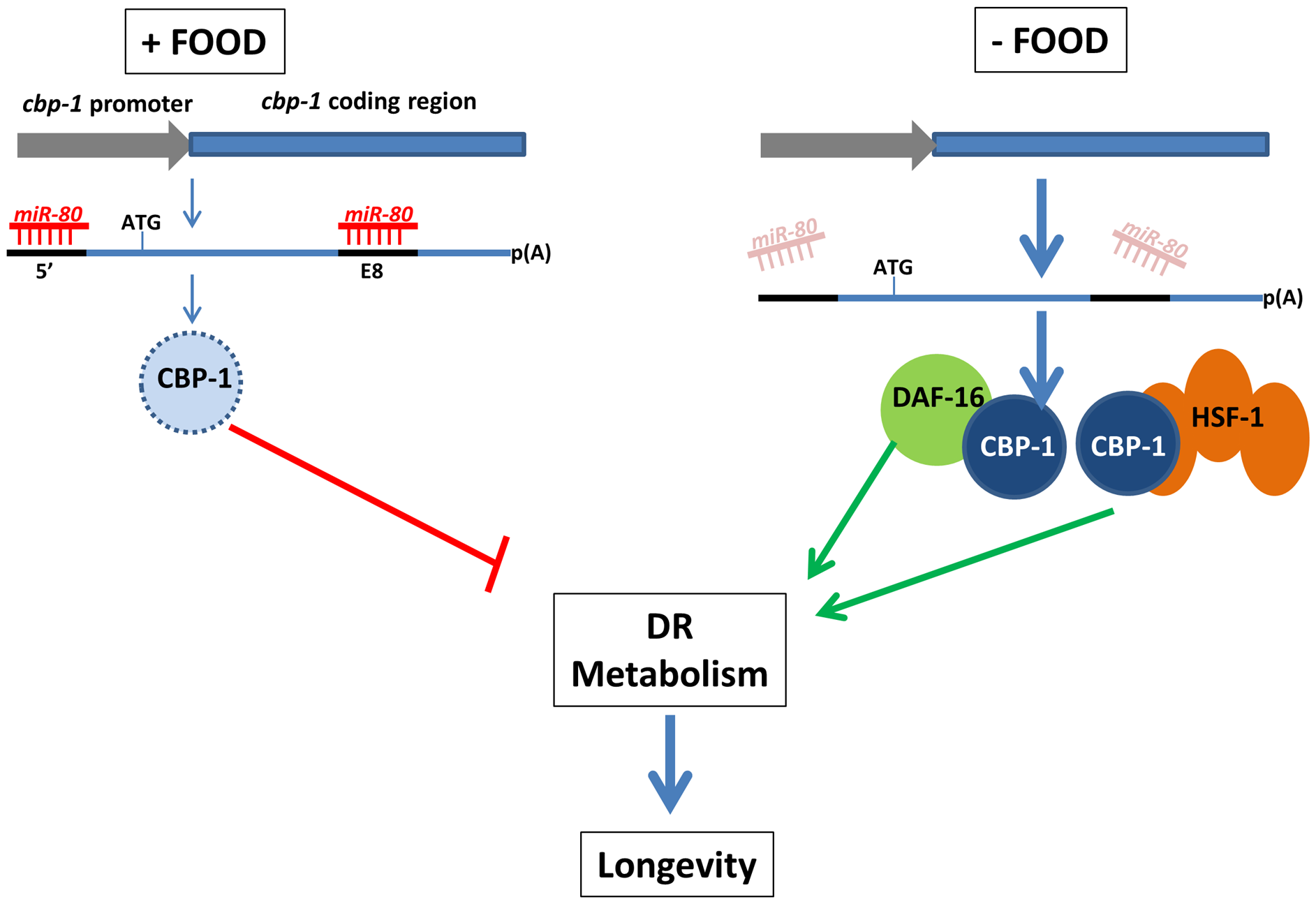 A model for miR-80 regulation of DR metabolism.