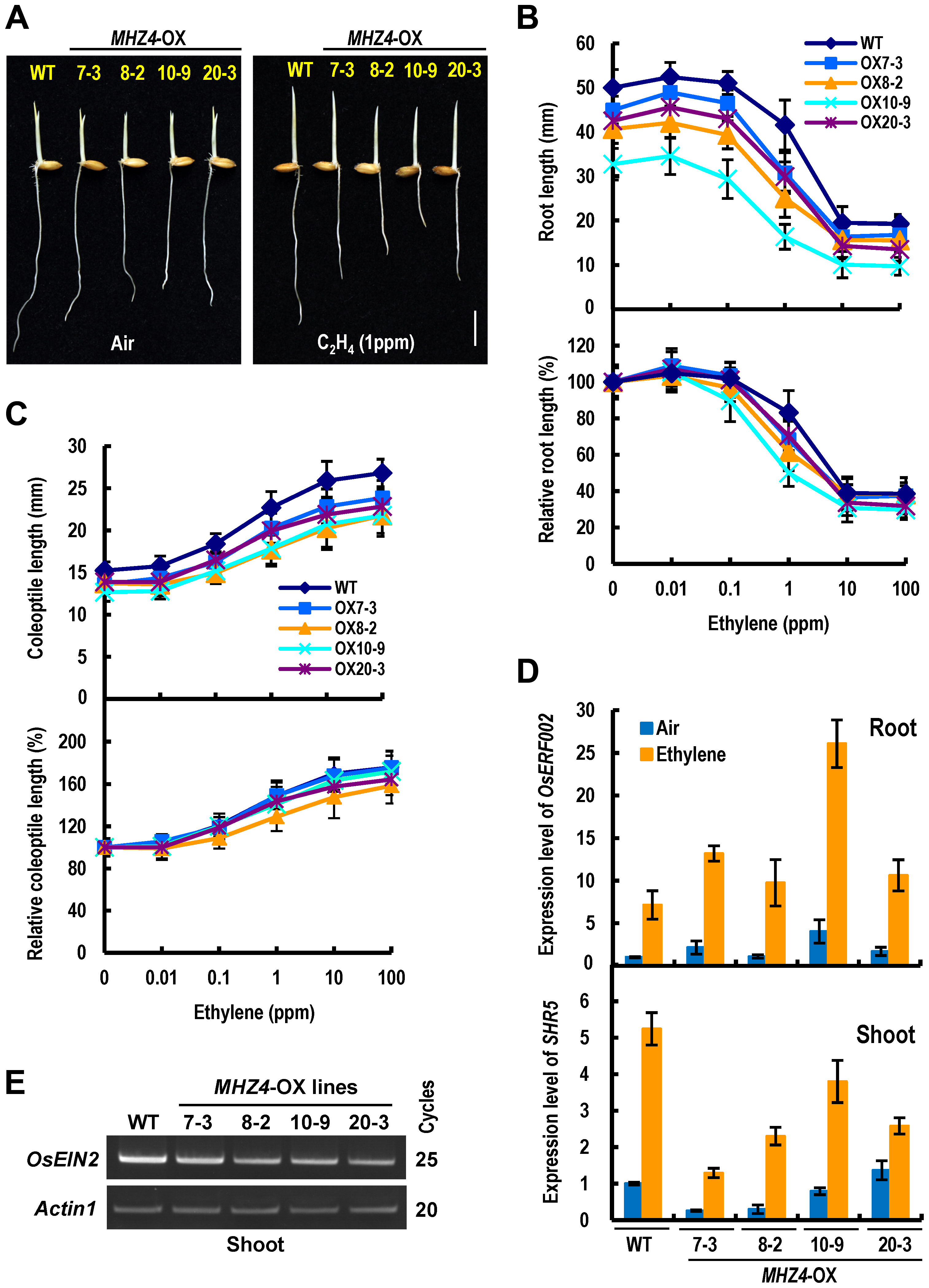<i>MHZ4</i> overexpression confers enhanced and reduced ethylene responses in roots and coleoptiles, respectively.