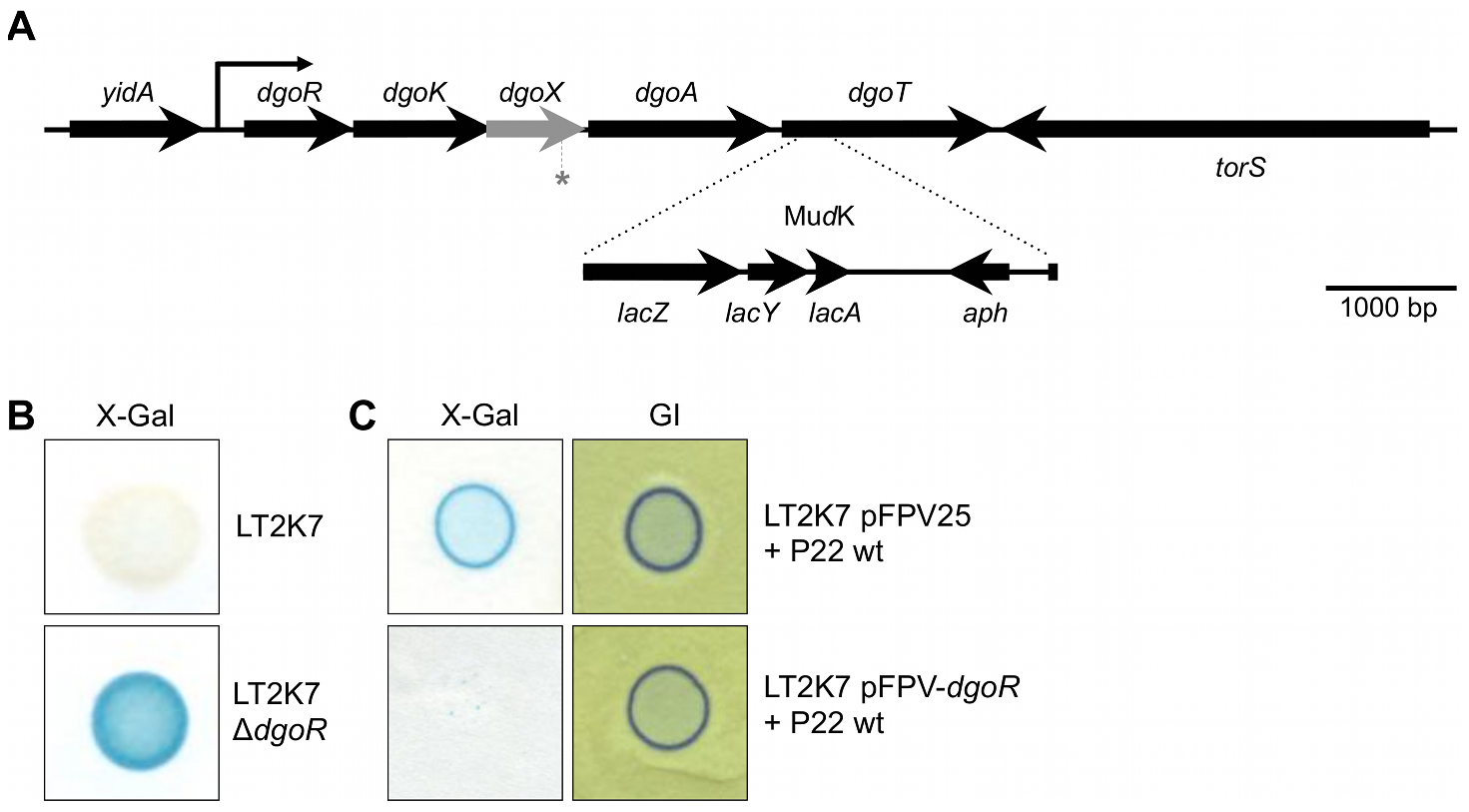 The <i>dgoRKAT</i> operon and its derepression in LT2.
