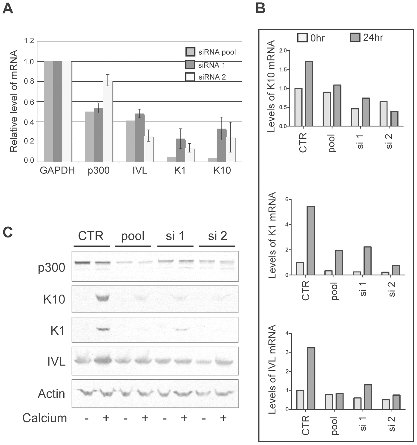 p300 knockdown by siRNA is sufficient to attenuate the mRNA and protein expression of K1, K10 and involucrin.