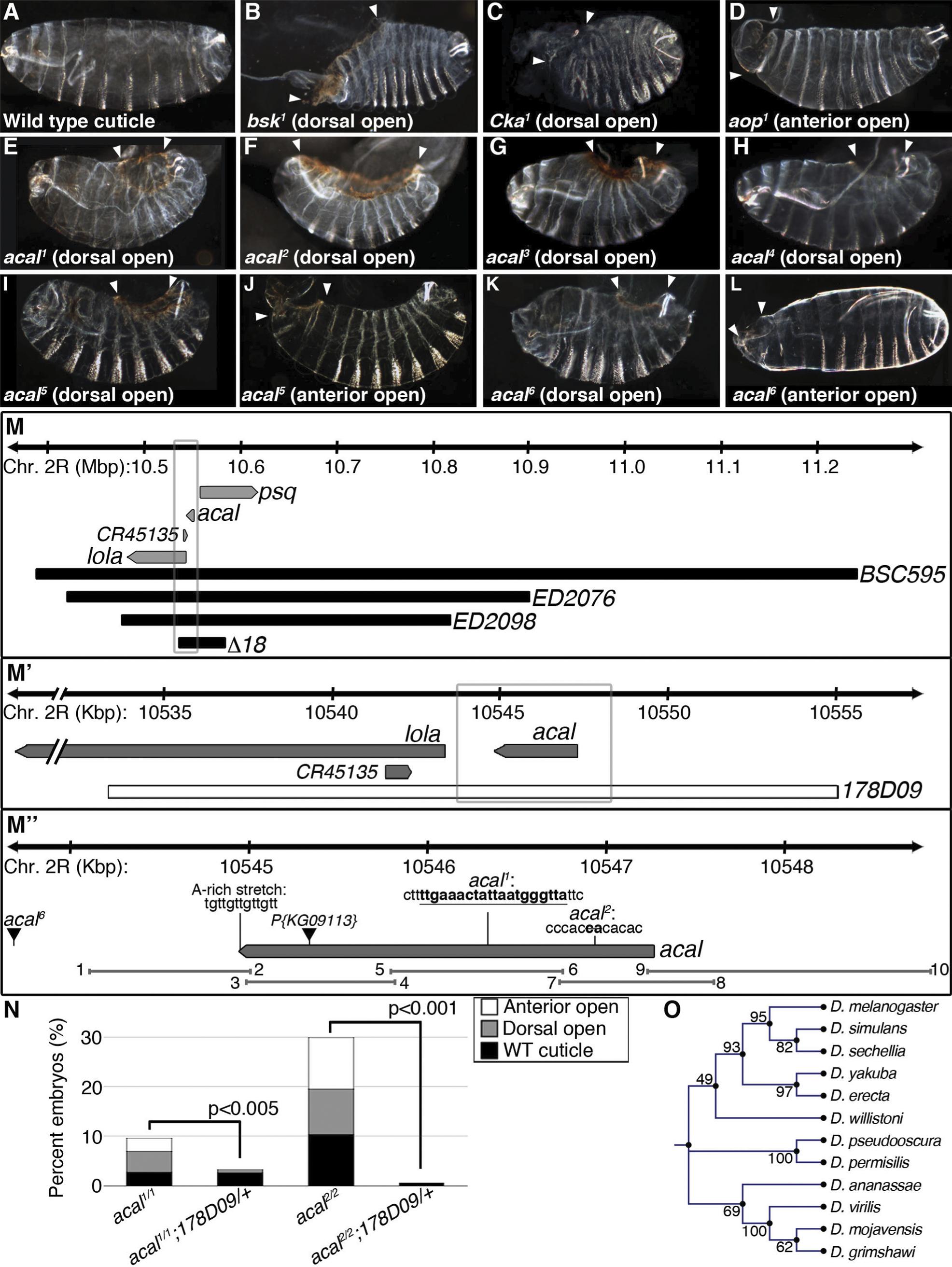 Molecular and genetic characterization of <i>acal</i> mutants.