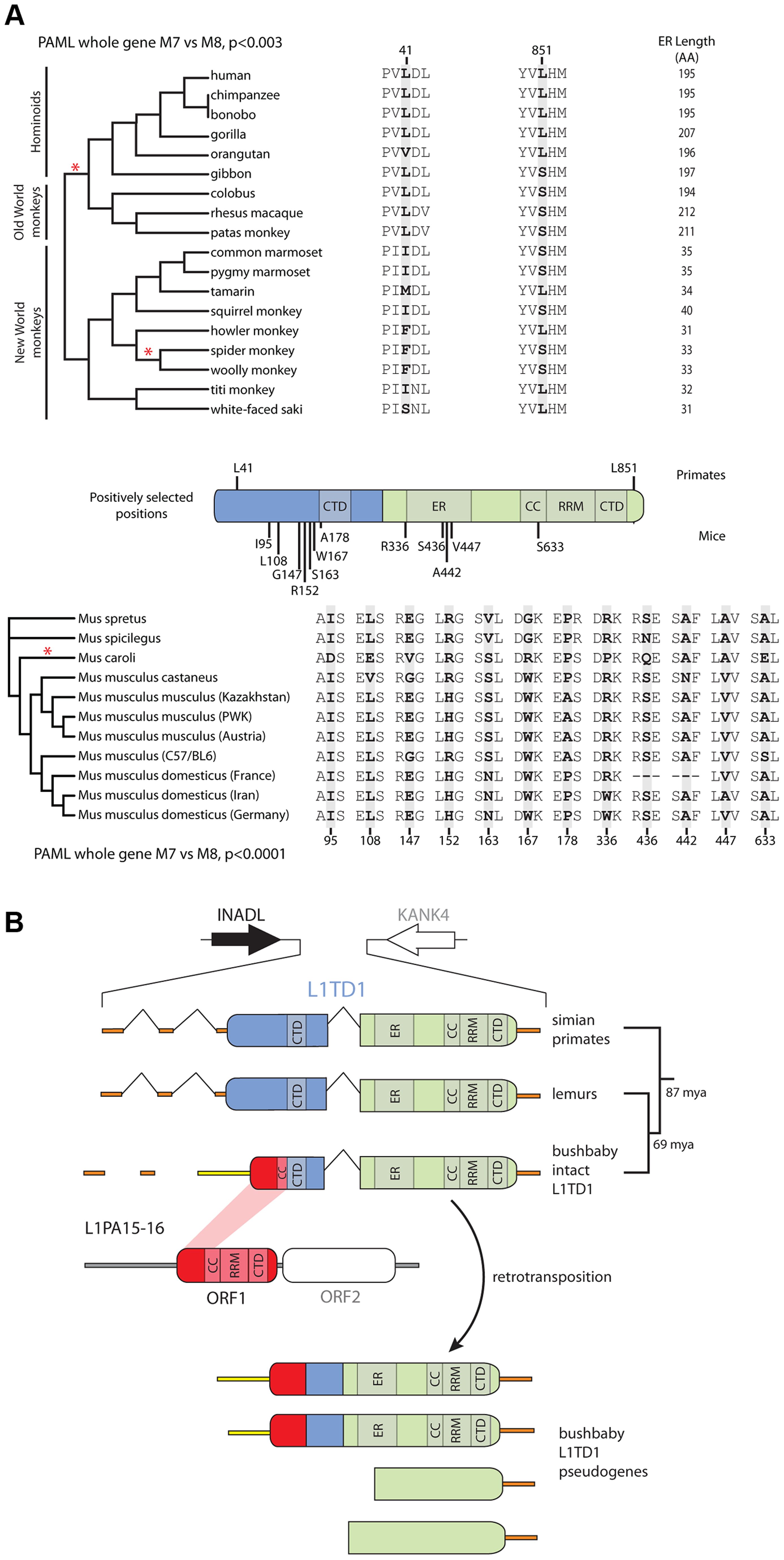 Novelty in <i>L1TD1</i> of primates and mice.