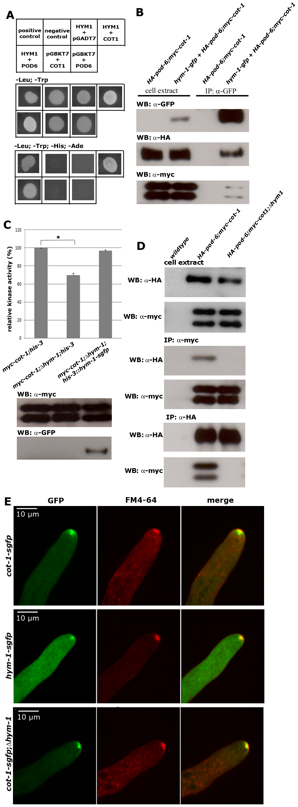 HYM1 functions as scaffold protein for the COT1-POD6 complex.