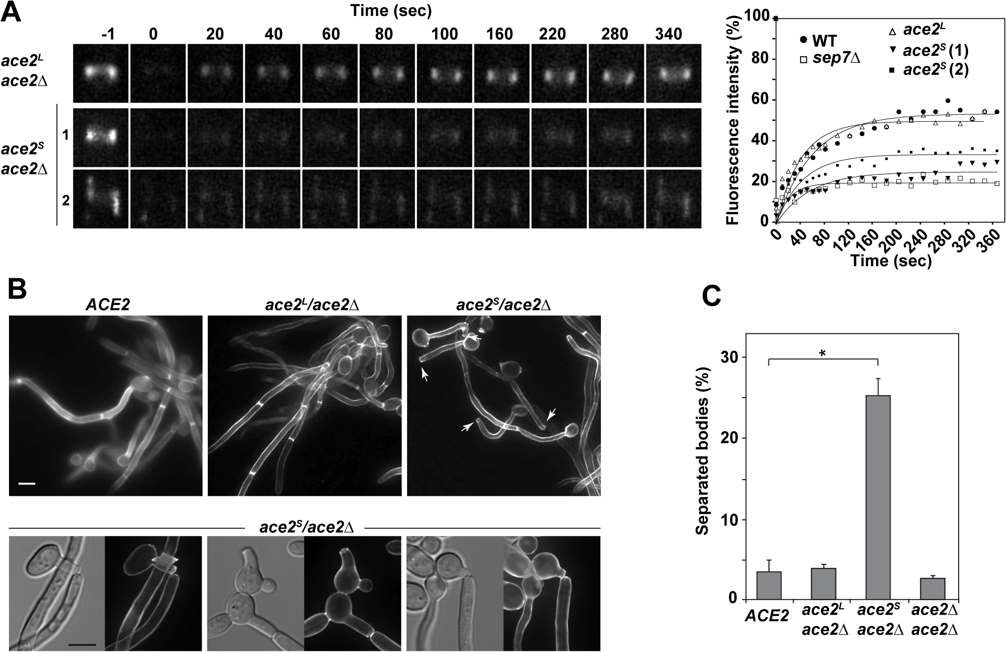 Ace2<sup>L</sup> is essential for septin ring dynamics during hyphal growth.