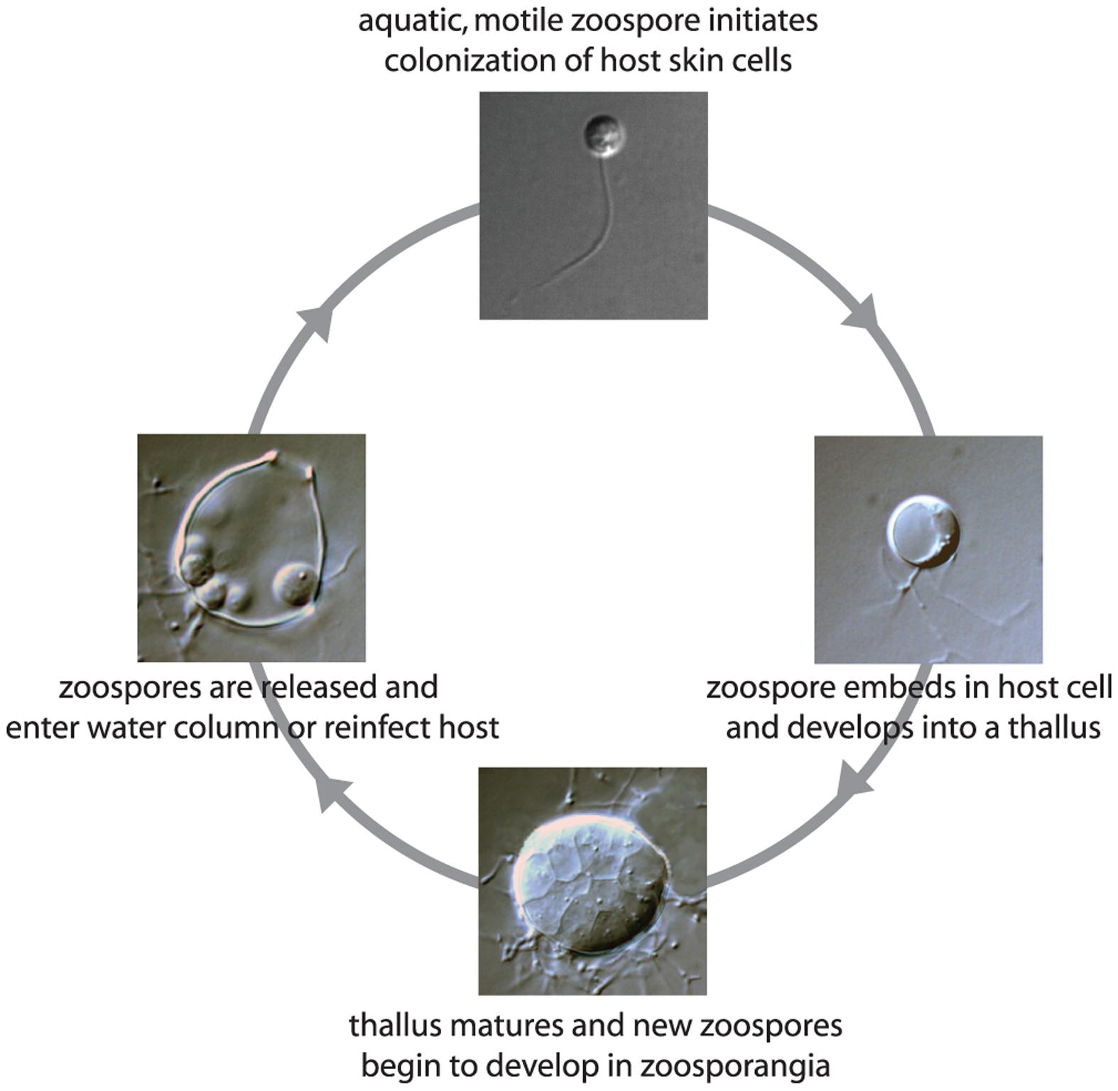 Life cycle of the pathogenic chytrid fungus <i>Batrachochytrium dendrobatidis</i>.