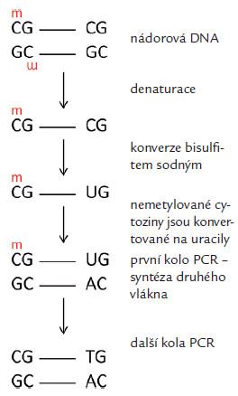 Změny v nukleotidové sekvenci po konverzi bisulfitem sodným/změna nemetylovaného cytozinu na uracil a jeho párování s adeninem a zachování párování u metylovaného cytozinus guaninem.
