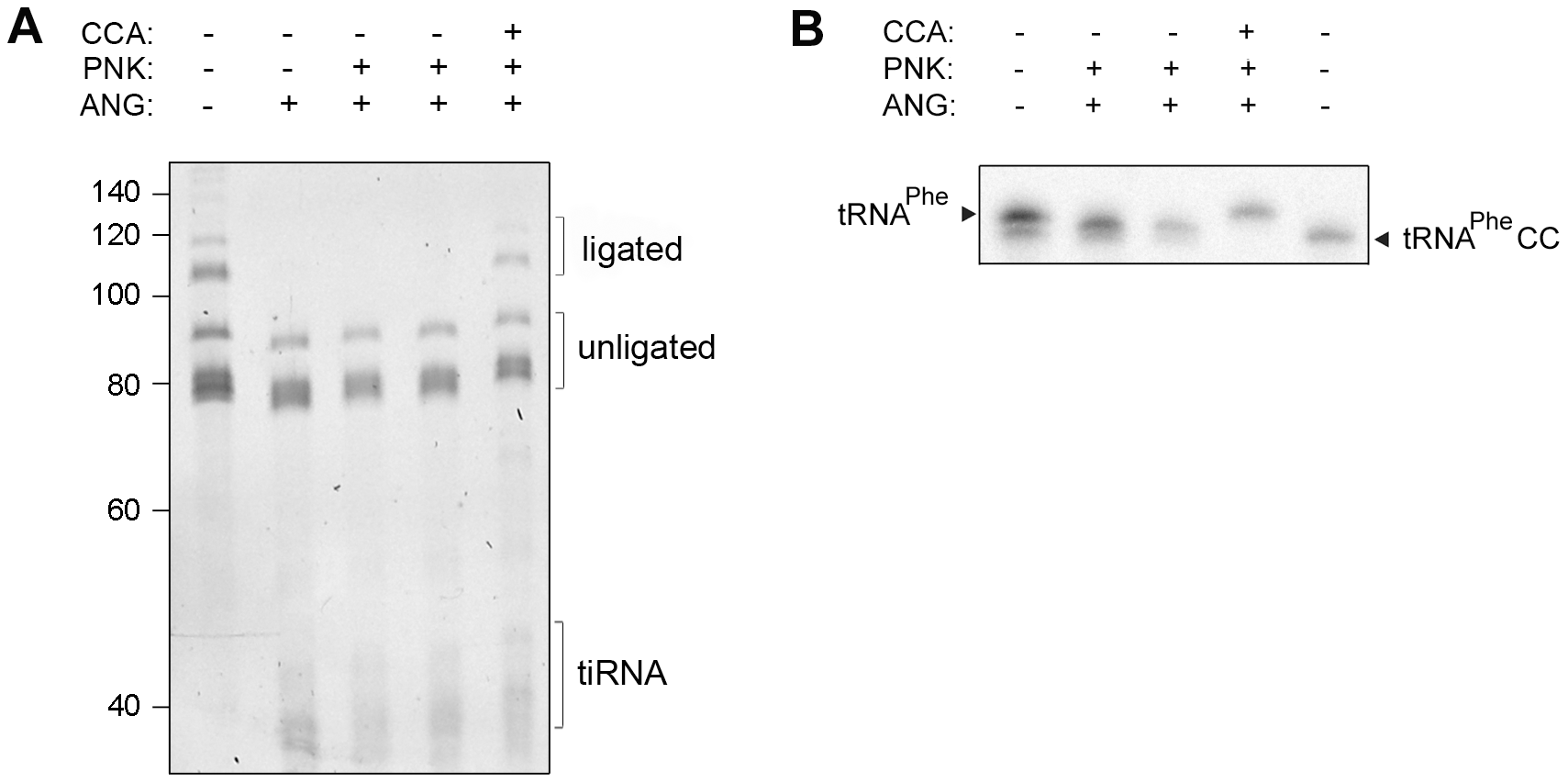 Human CCA-adding enzyme is able to repair damaged CCA ends of tRNAs.