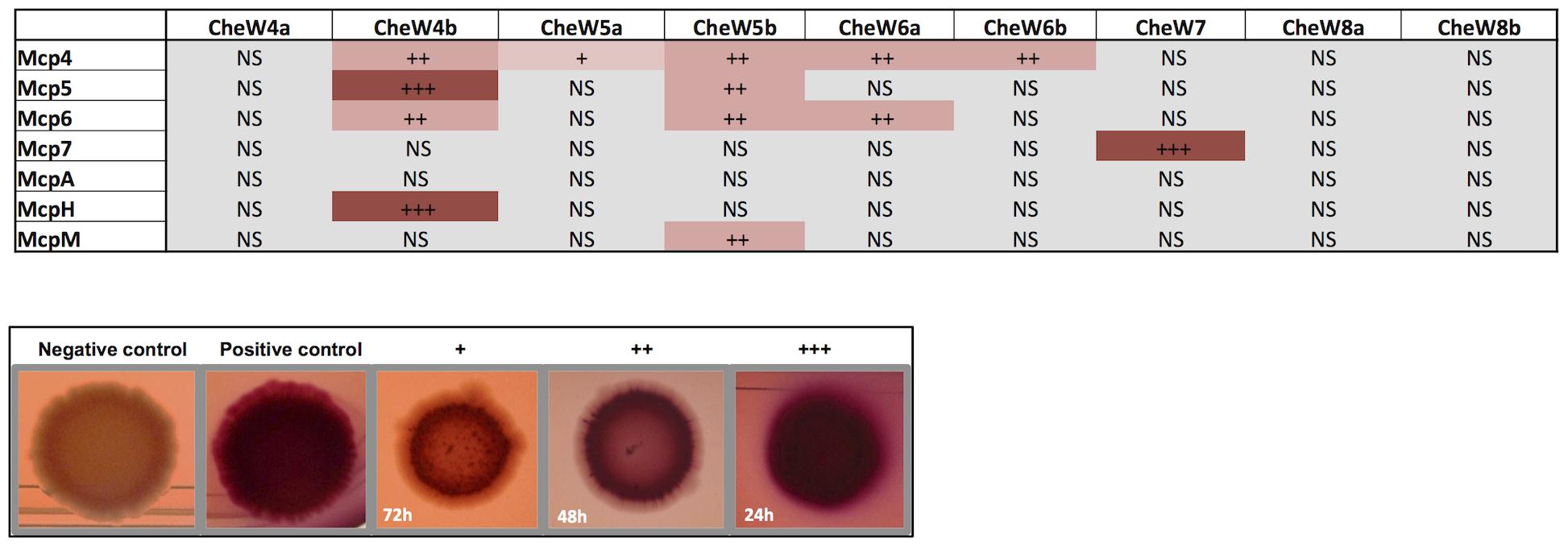 <i>In vivo</i> MCP-CheW interactions.