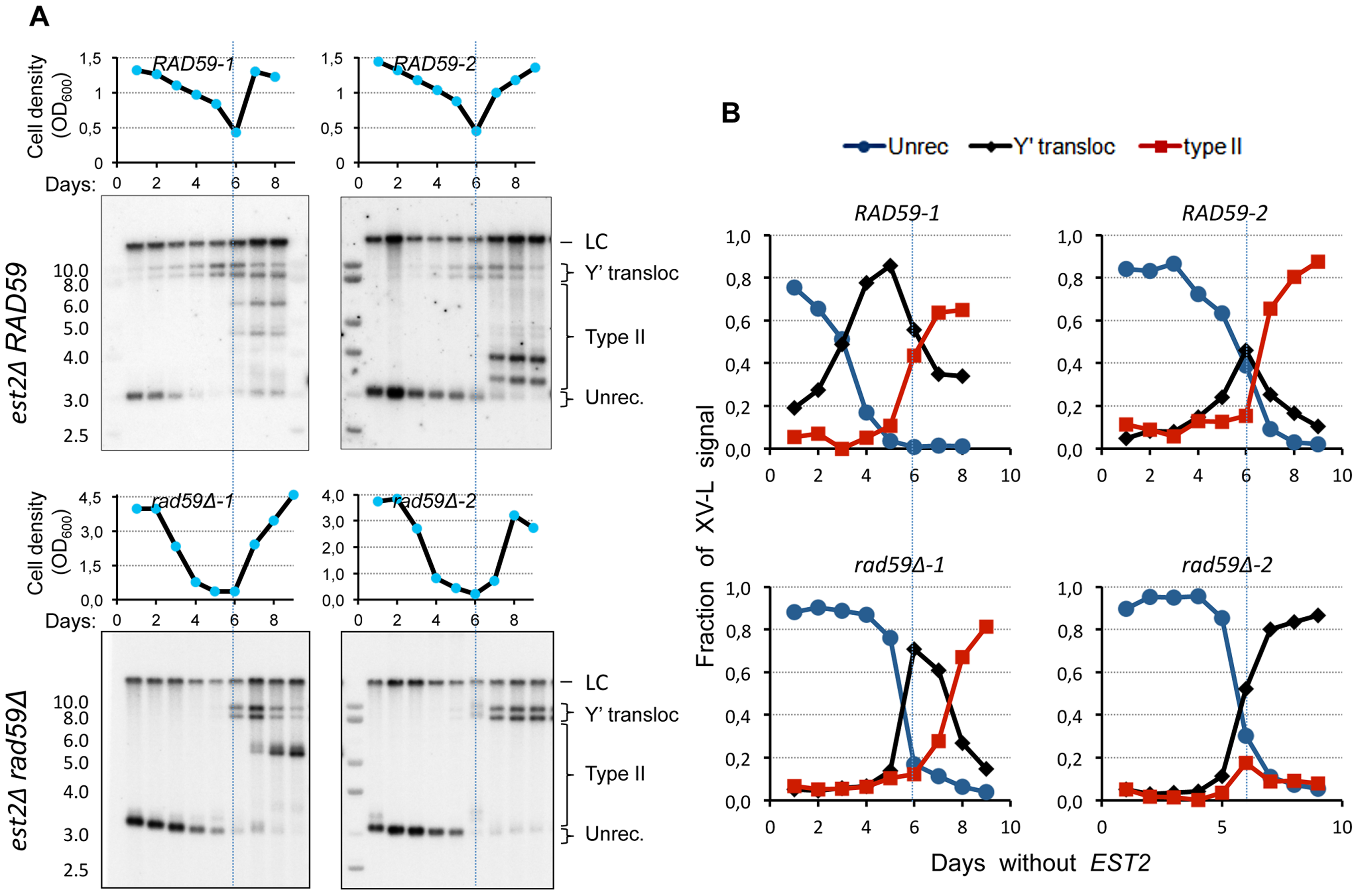 <i>RAD59</i> deletion results in a delay of Y′ translocation on the native X-only telomere XV-L.
