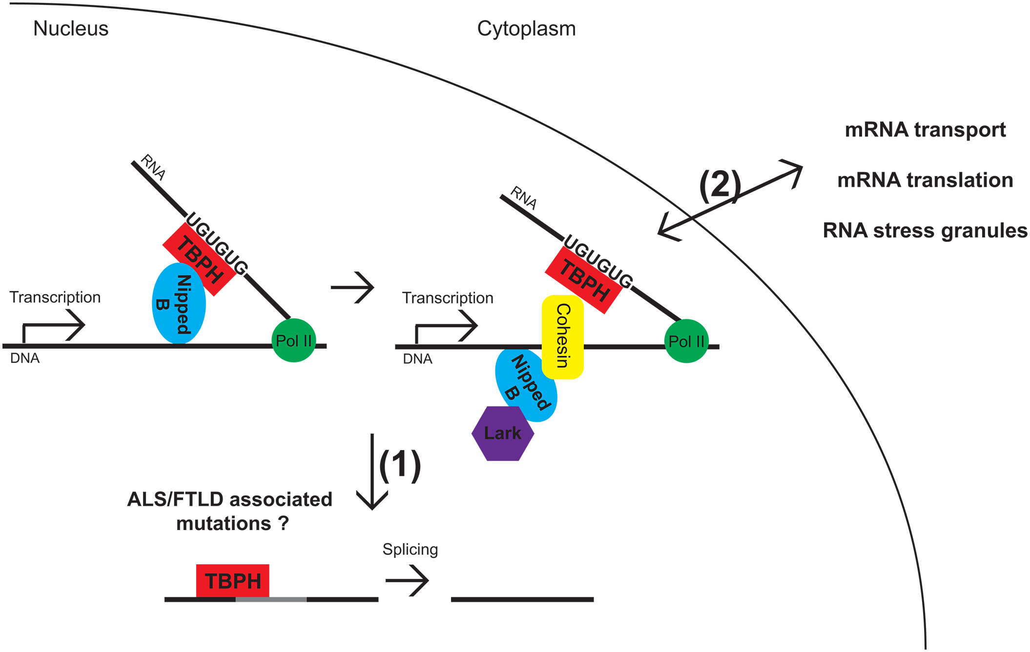 Model for TBPH and Lark interacting with Nipped-B and cohesin.