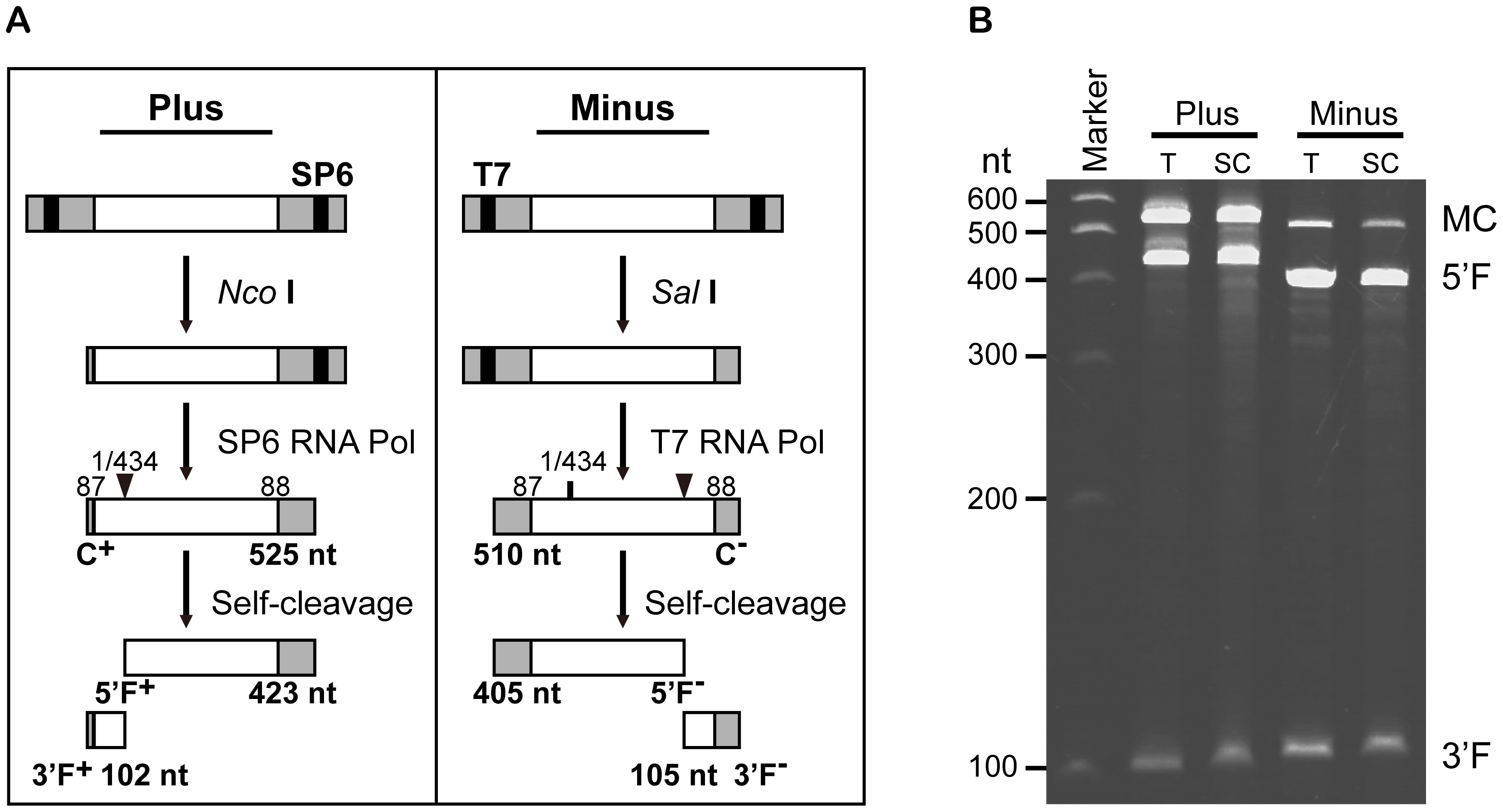 <i>In vitro</i> synthesis and self-cleavage of monomeric plus and minus RNAs of AHVd-like RNA.