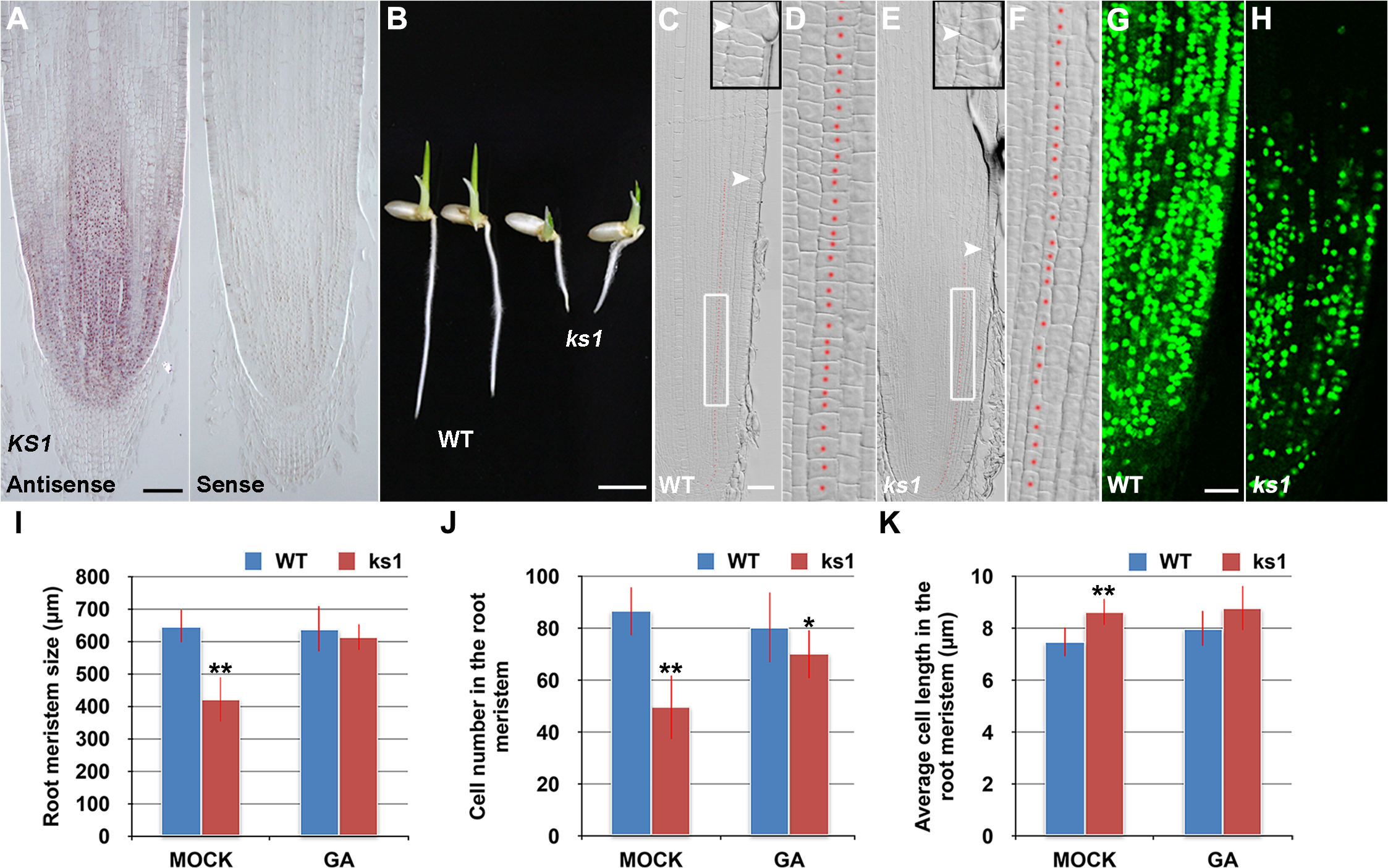 <i>KS1</i> is expressed in the root tip and has a role in GA-mediated elongation and proliferation of root meristem cells.
