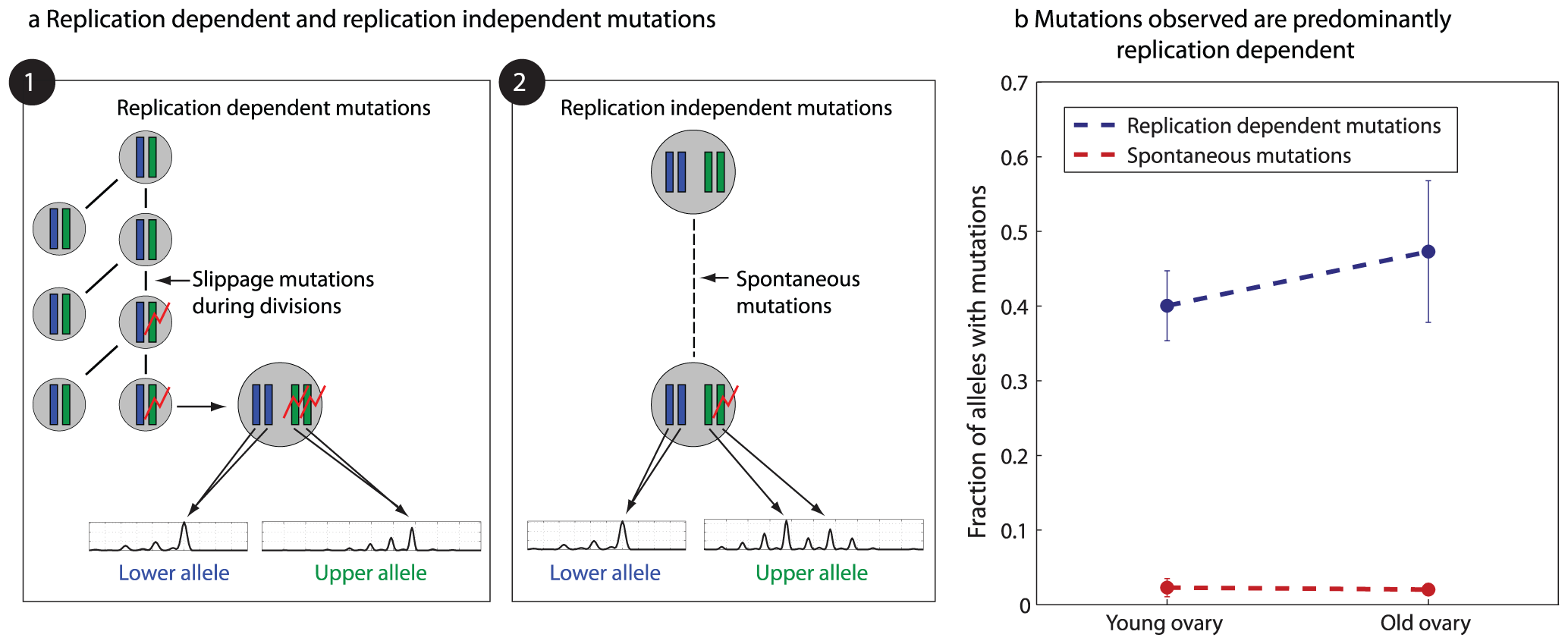 Microsatellite mutations are replication dependent.