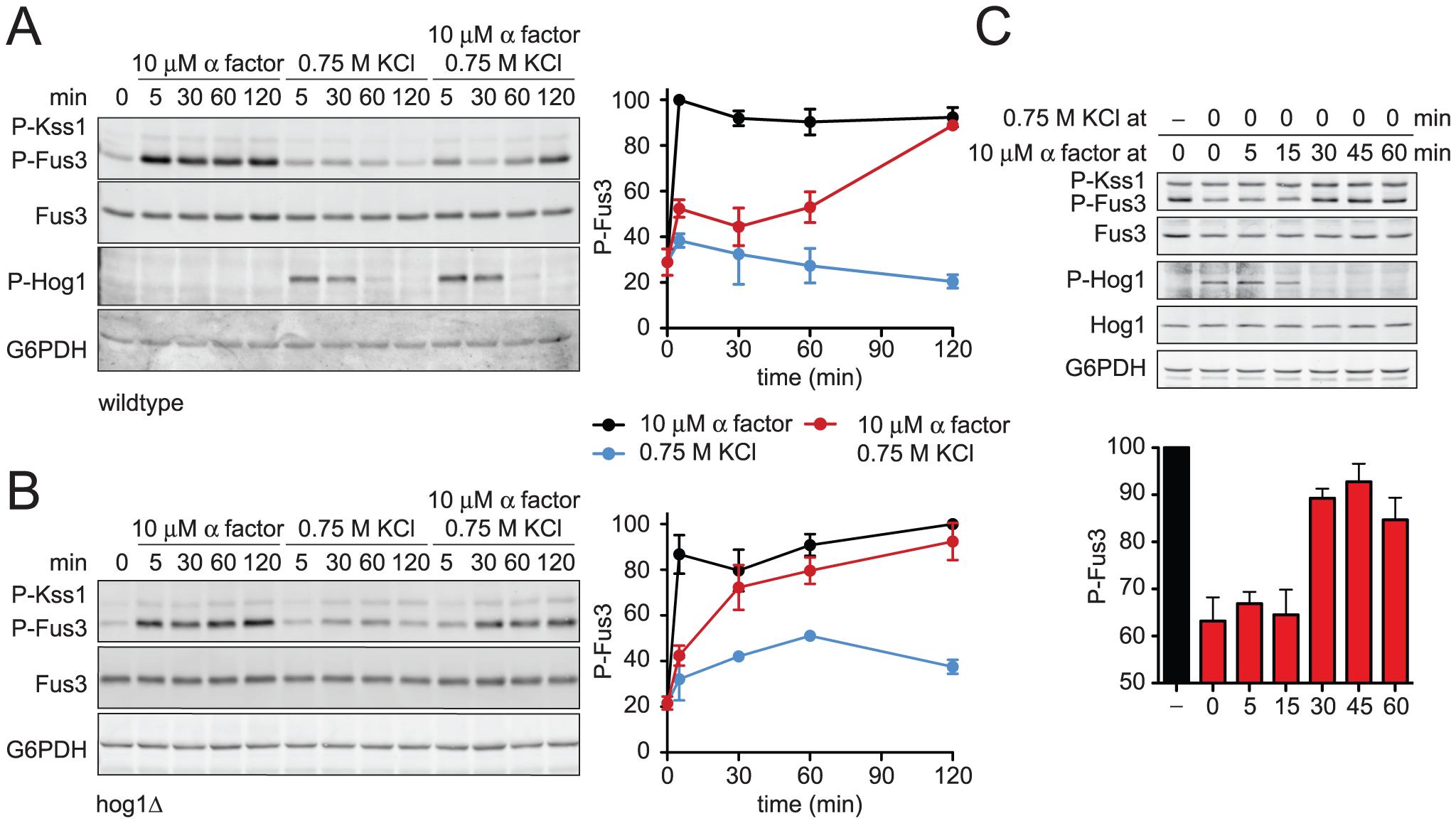Hyperosmotic stress dampens Fus3 activation in a Hog1-dependent manner.
