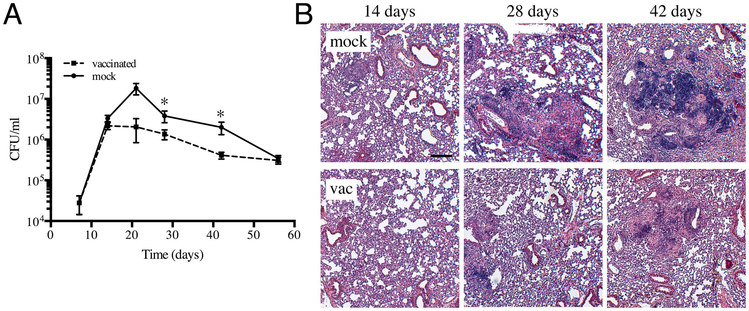 Characterization of a heat-killed Mtb vaccination model.