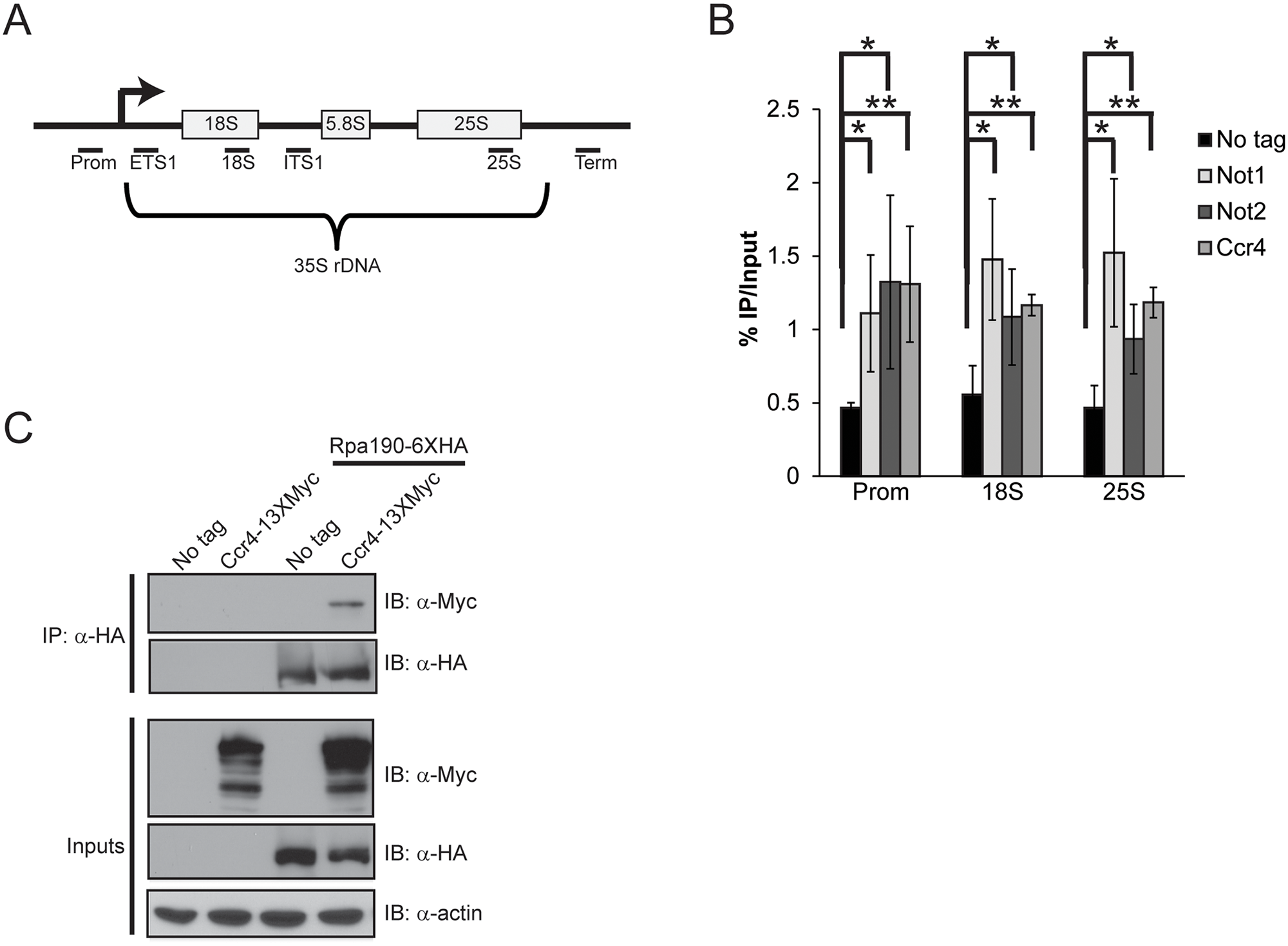 Ccr4-Not binds the rDNA and interacts with RNA Pol I.