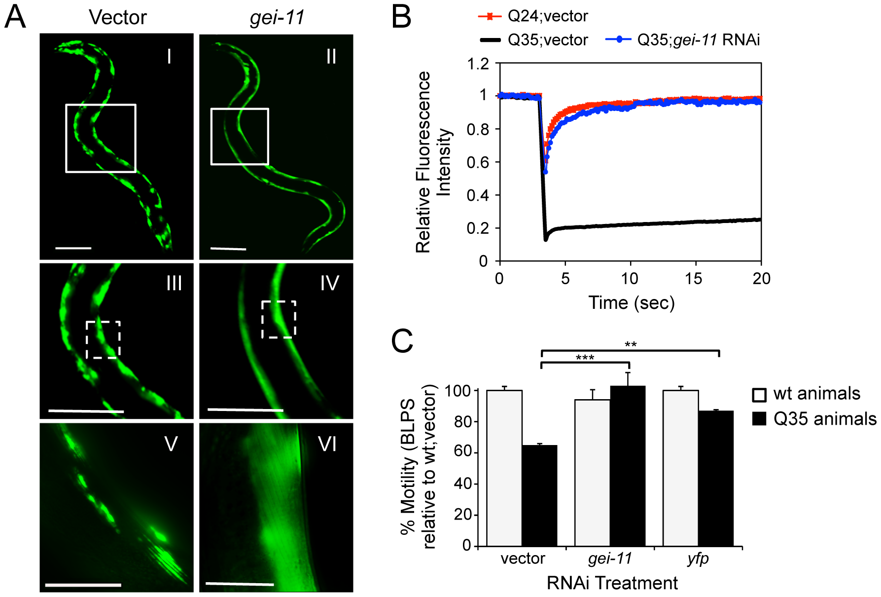 Knockdown of <i>gei-11</i> suppresses polyQ aggregation and toxicity.
