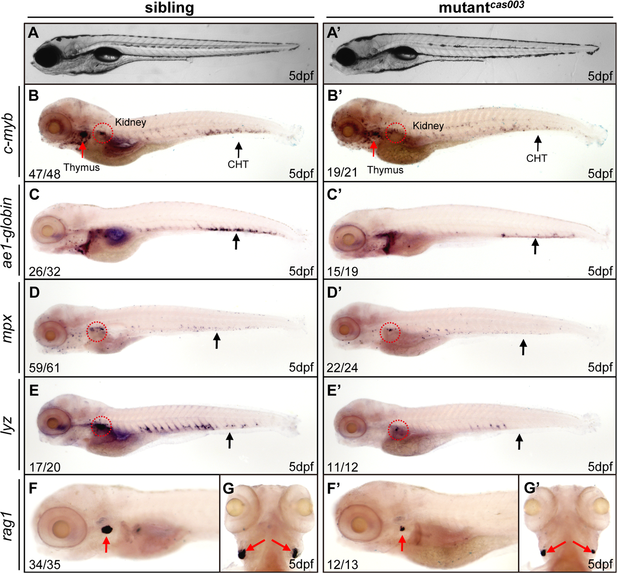 The definitive hematopoiesis is defective in zebrafish mutant<sup><i>cas003</i></sup> embryos.