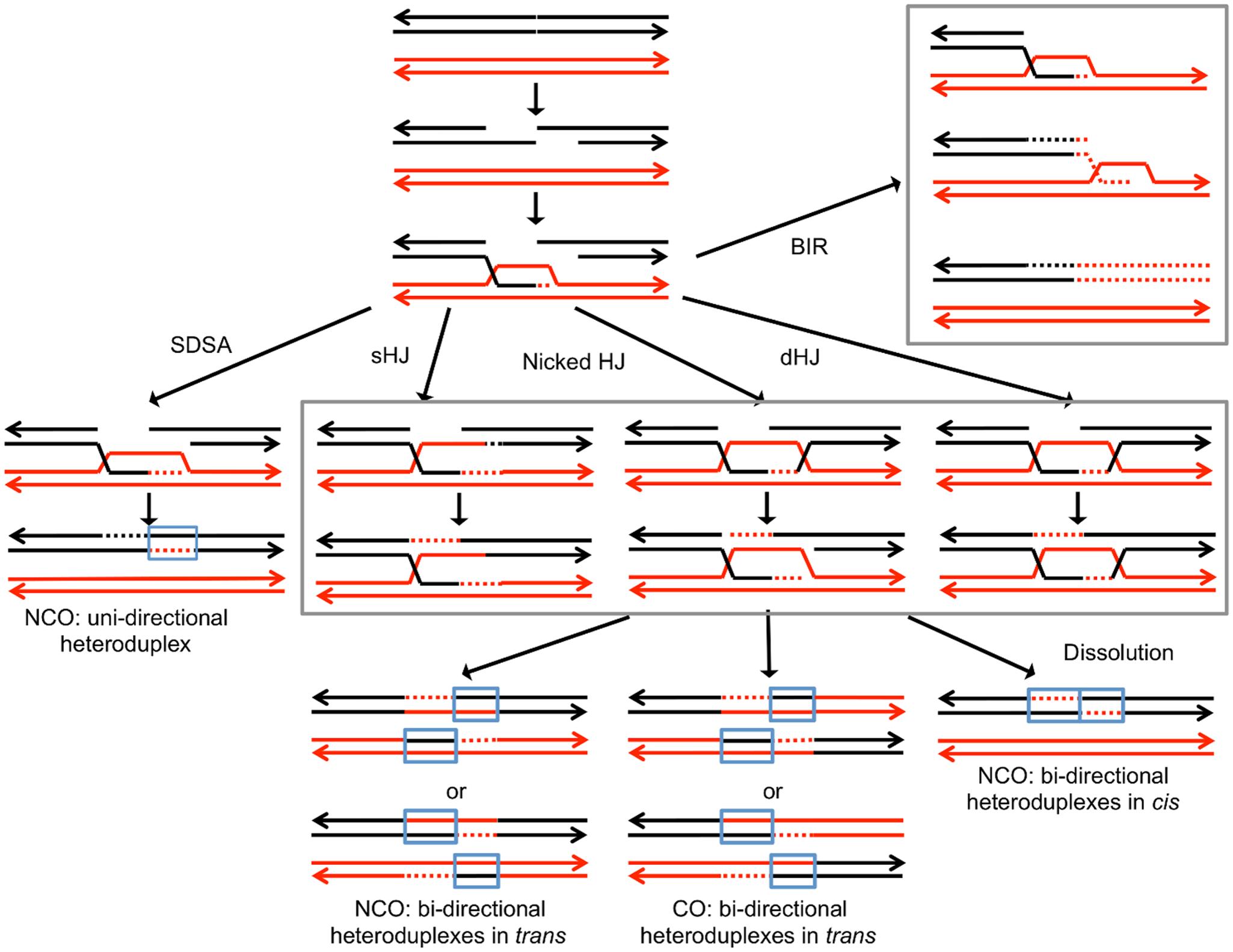 Pathways of homologous recombination.