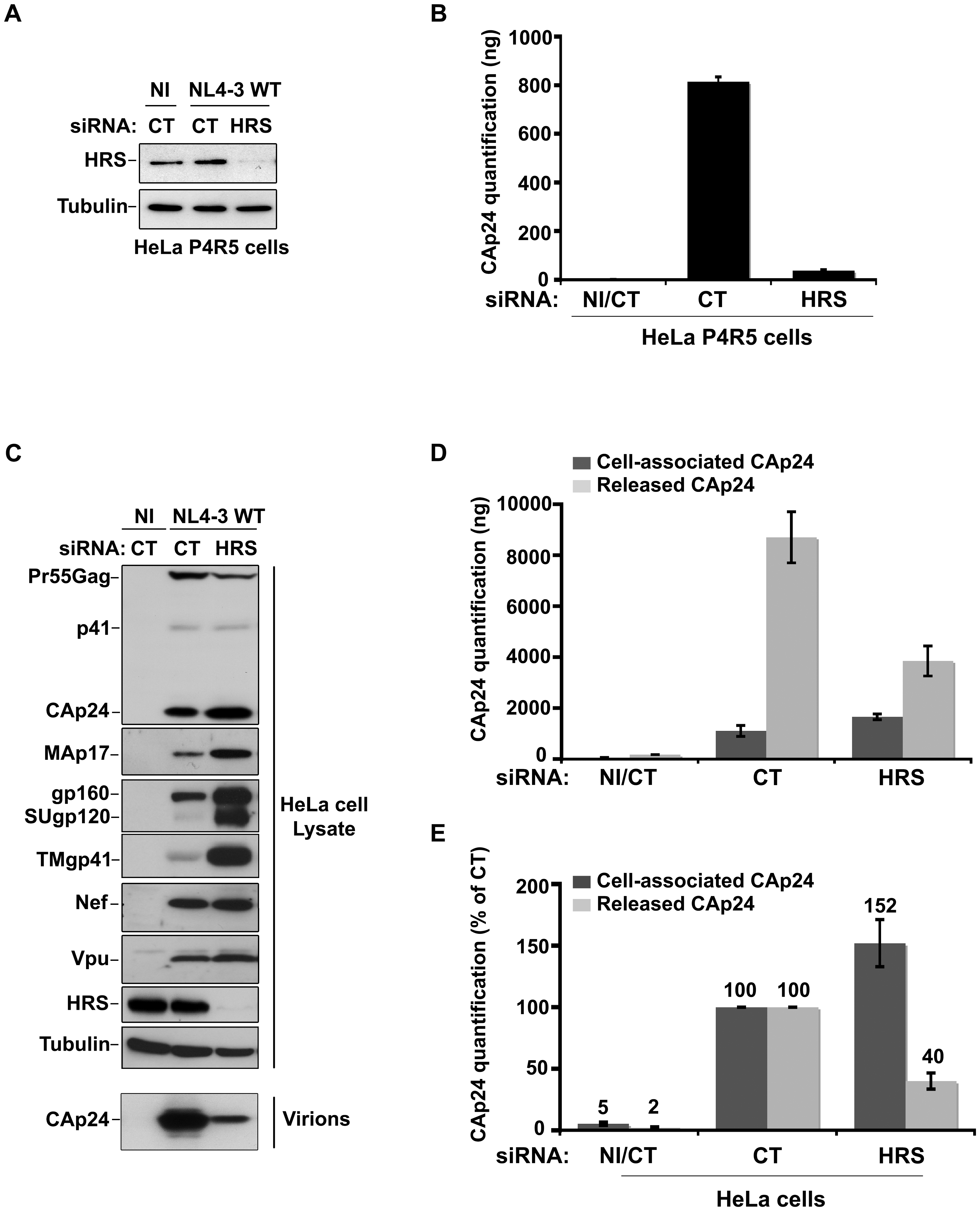 Depletion of HRS reduces the release of HIV-1 particles from infected cells.