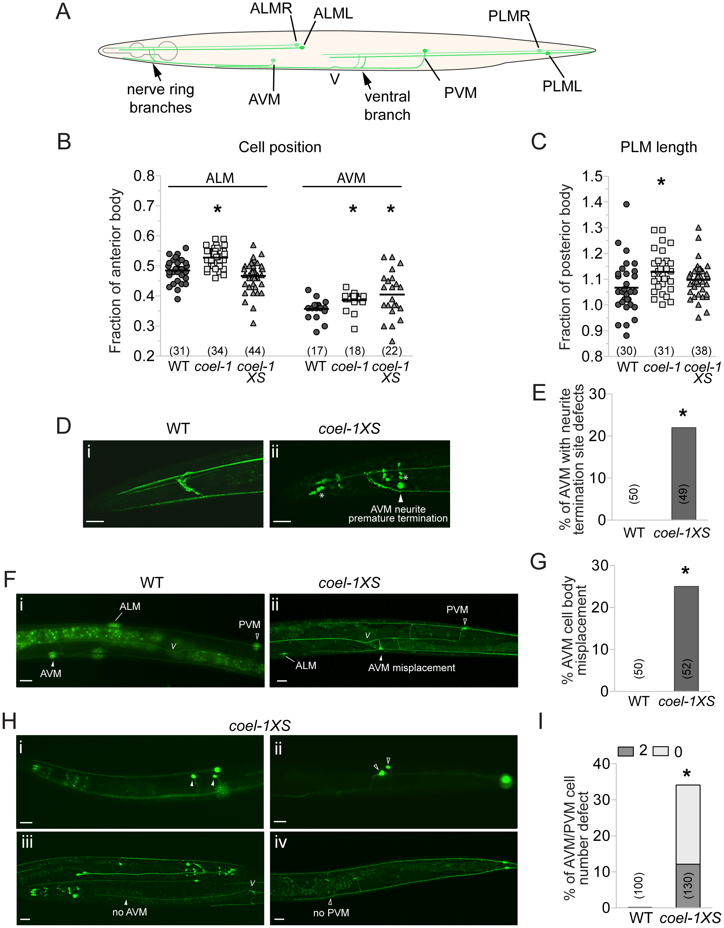 Touch receptor neuron (TRN) morphology, position and number defects in the <i>coel-1</i> overexpression and deletion strains.