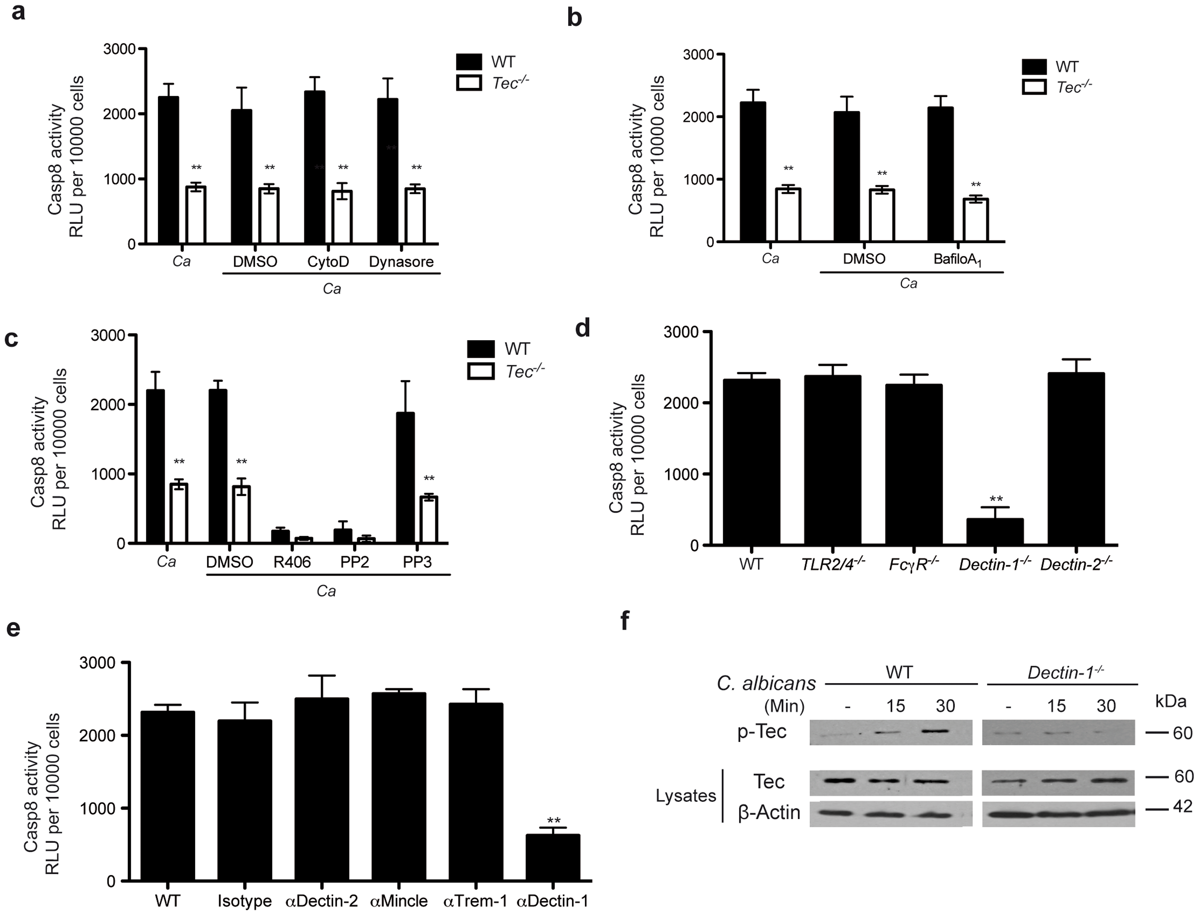 Dectin-1 is required for Tec-dependent caspase-8 activation.