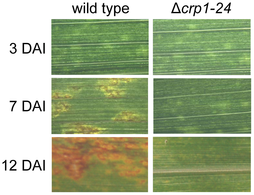 <i>CRP1</i> regulates lesion formation in <i>C. zeae-maydis</i>.