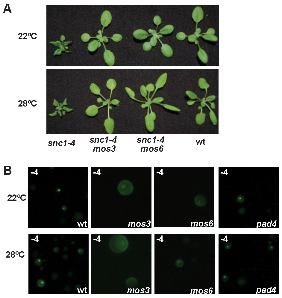 Effects of <i>mos3</i>, <i>mos6</i>, and <i>pad4</i> on the activity and localization of SNC1-4.