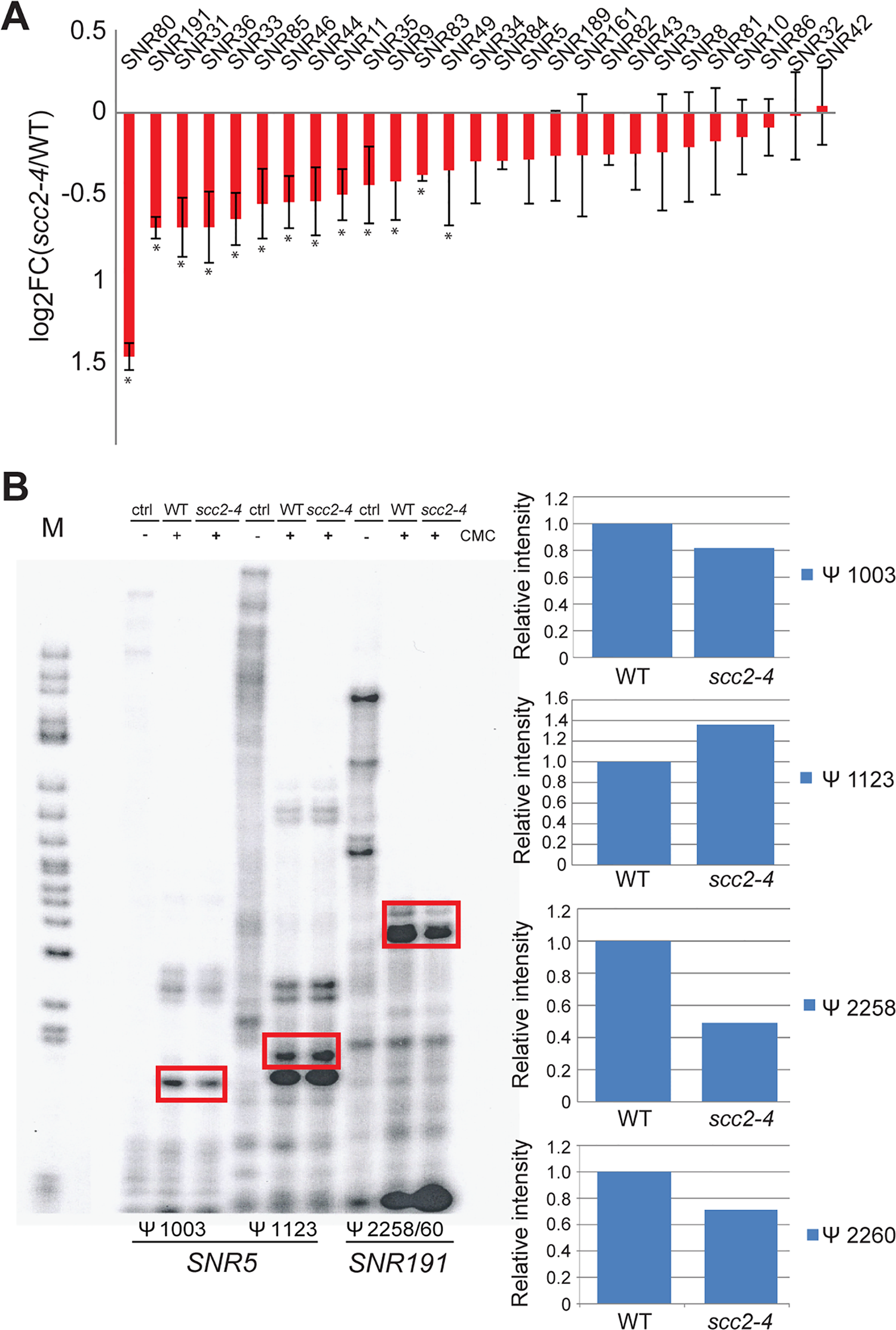 Pseudouridylation of rRNA is reduced in the <i>scc2-4</i> mutant.